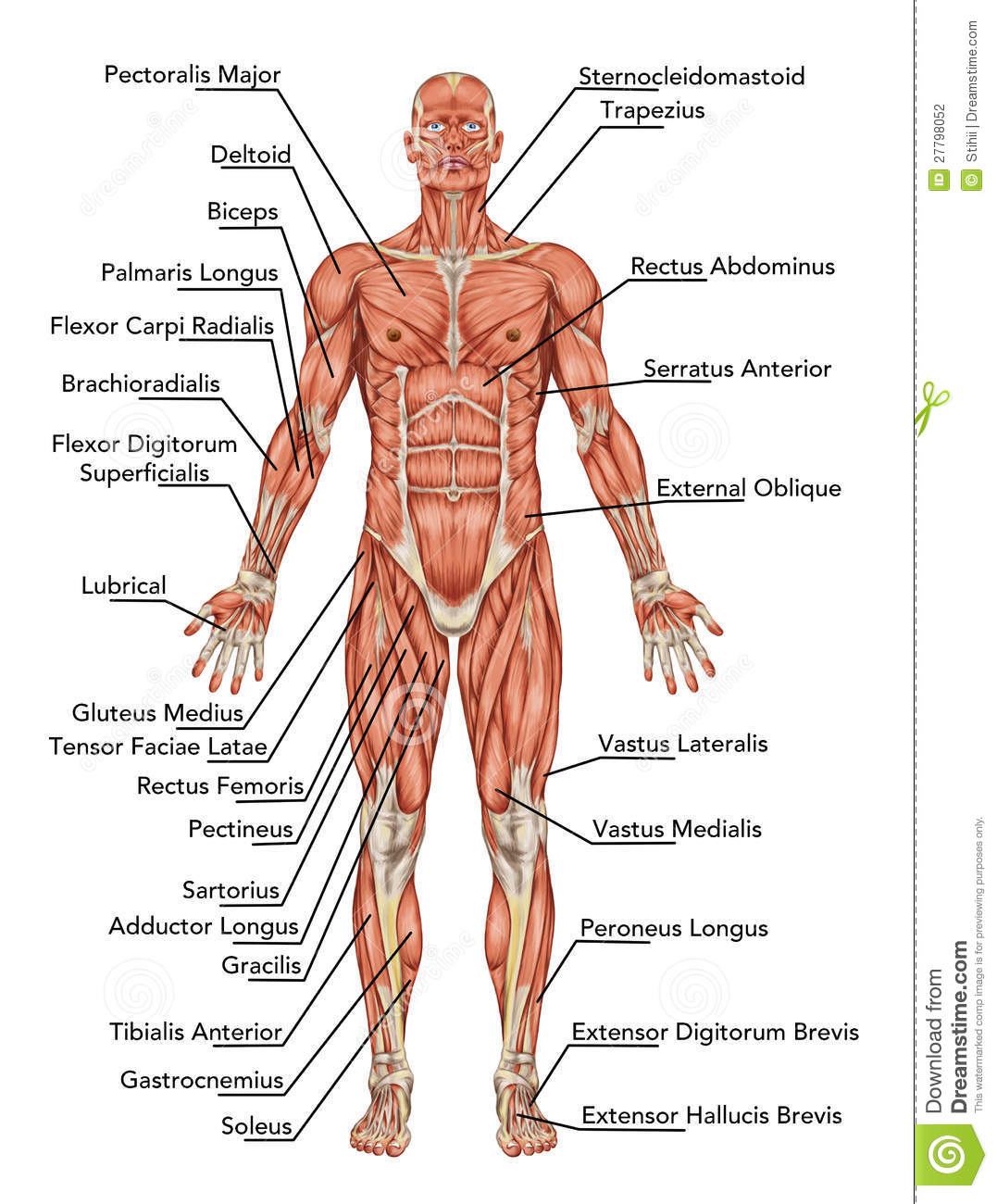 Skeletal system organs and functions