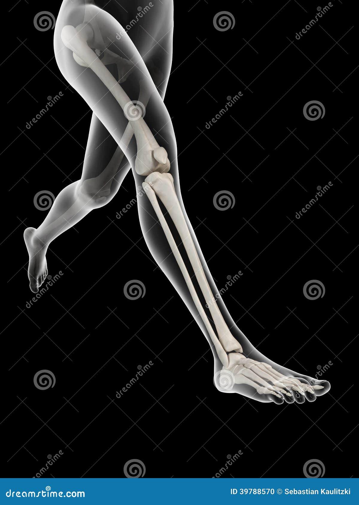 Anatomie der Beinknochen stock abbildung. Illustration von ...
