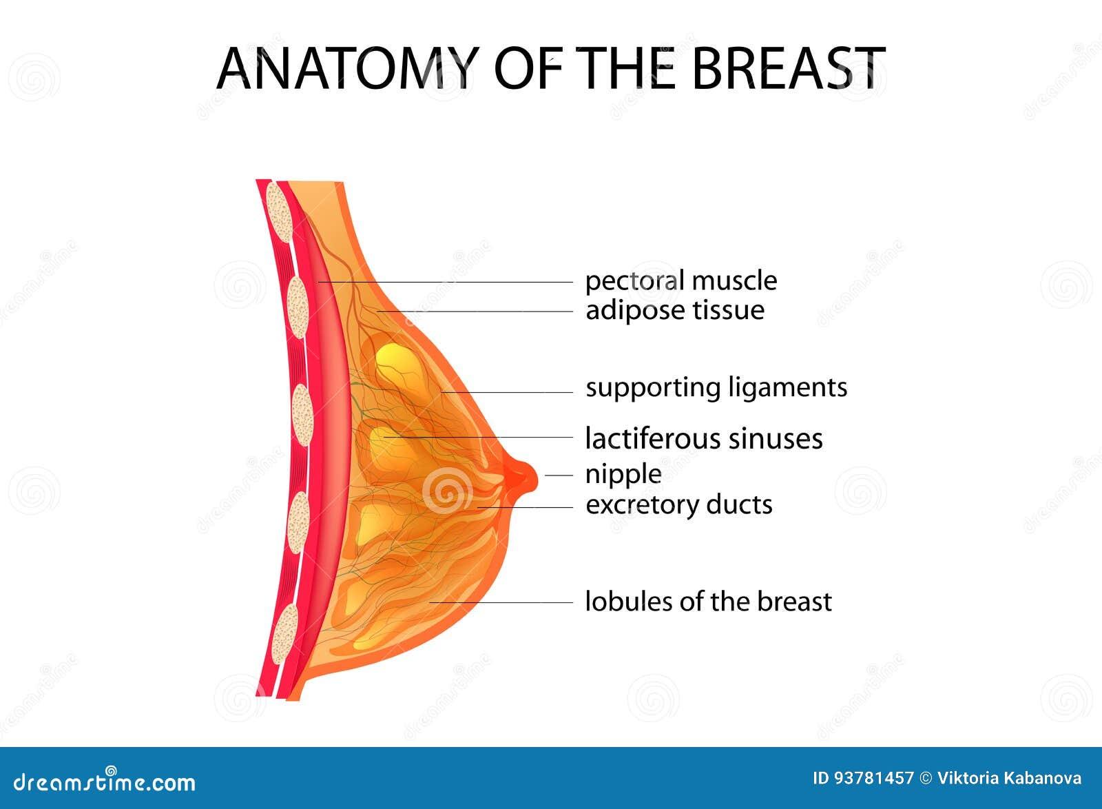 Anatomie der Brust vektor abbildung. Illustration von prozedur ...
