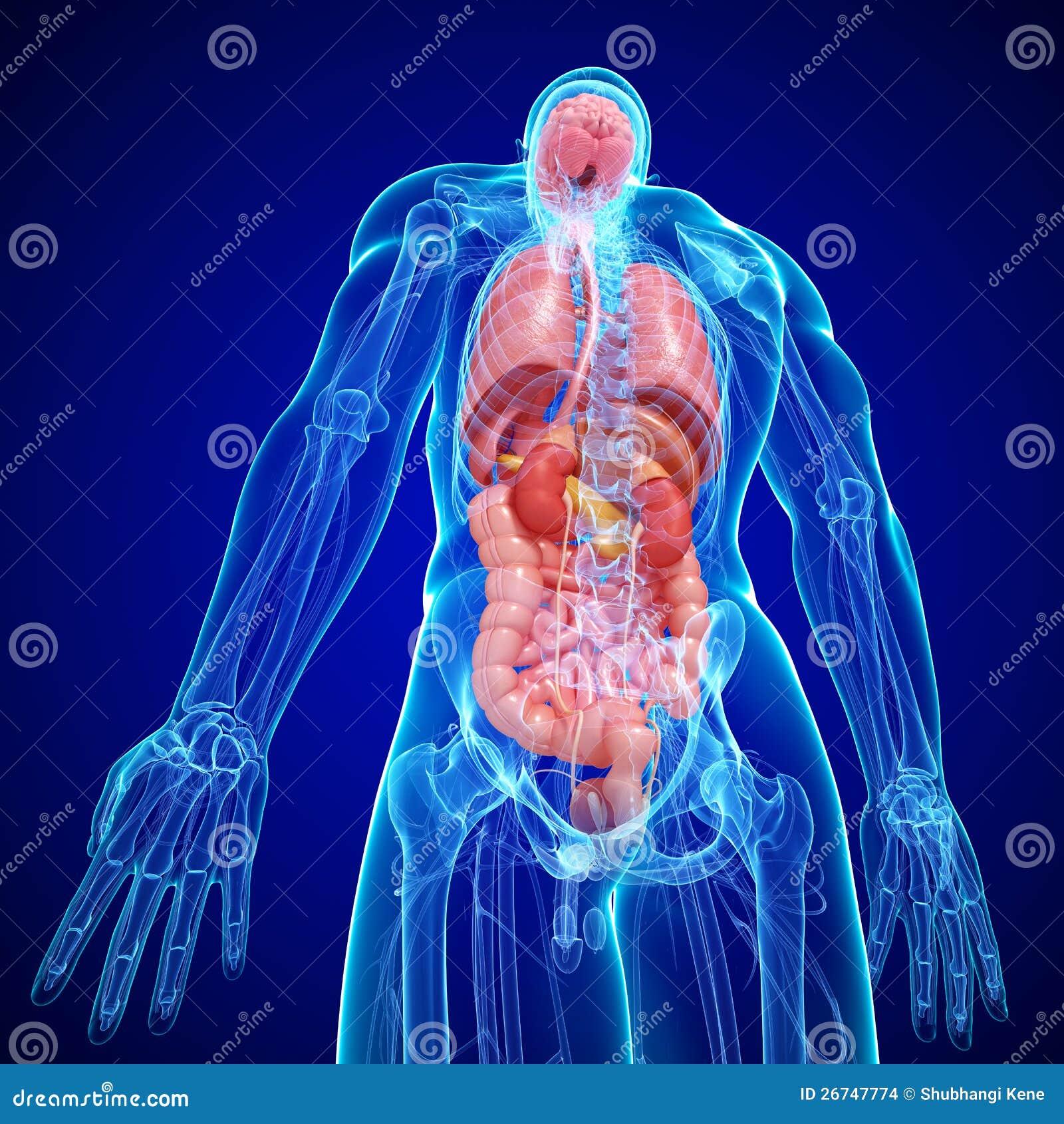 Anatomie Der Internen Struktur Des Menschlichen Körpers Stock ...