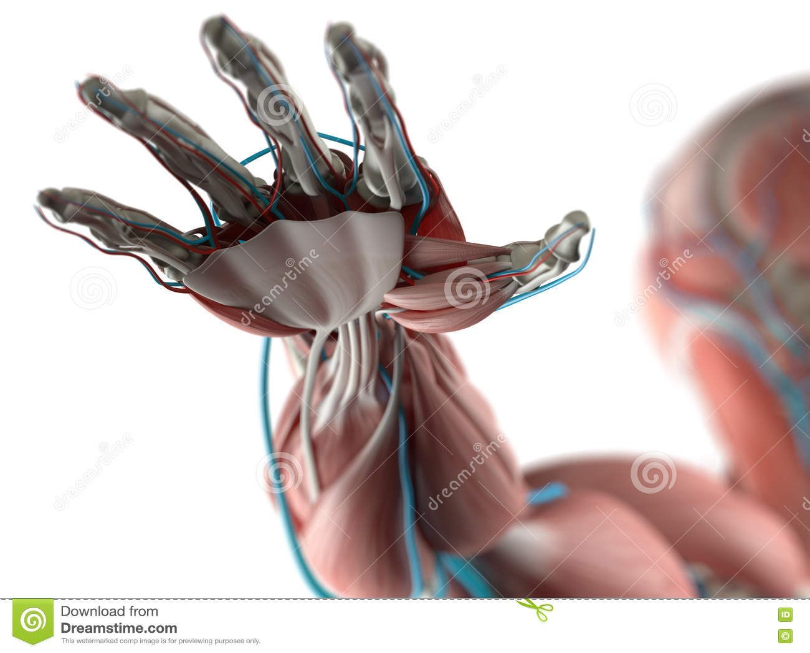 Anatomie Der Menschlichen Hand Stock Abbildung - Illustration von ...