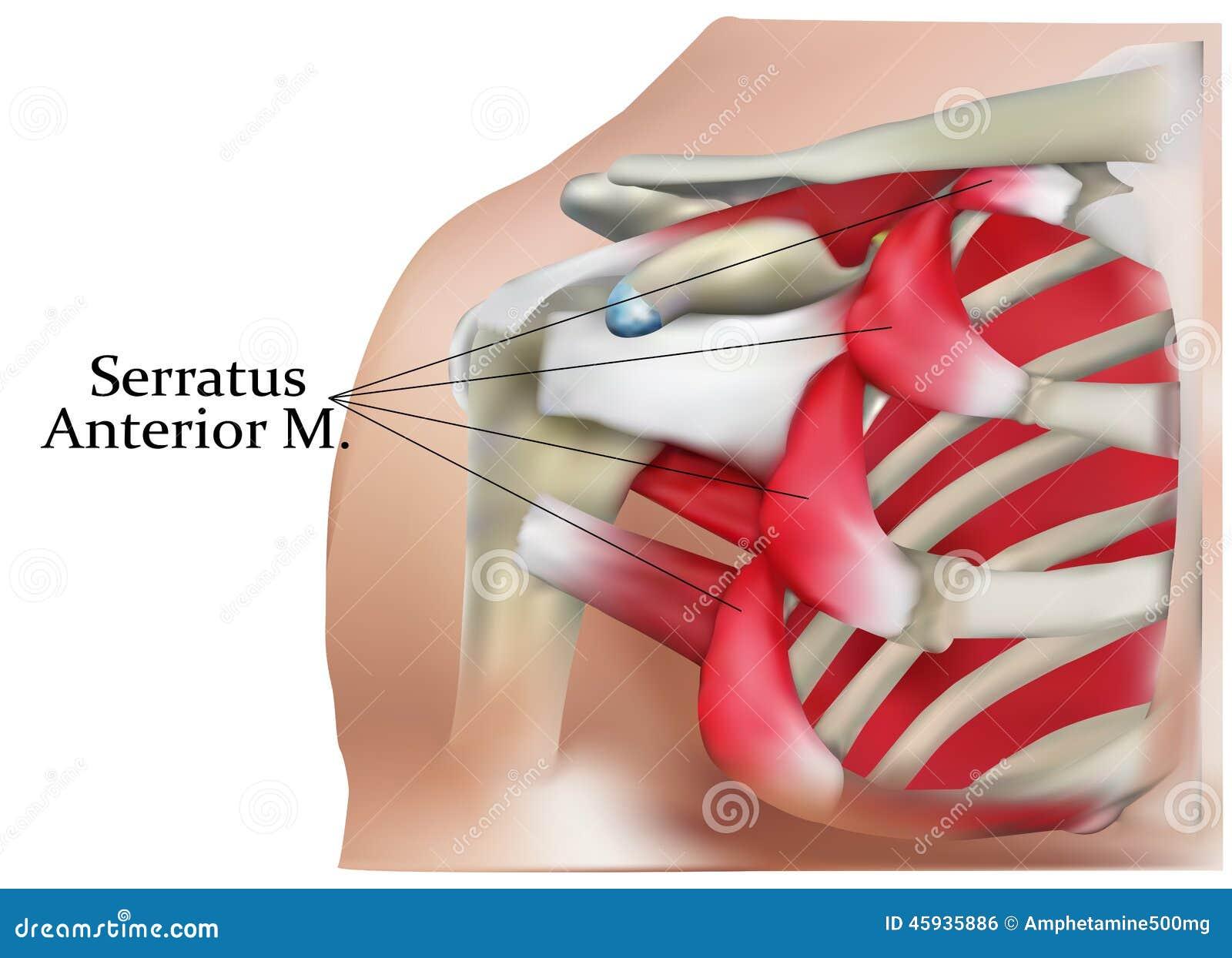 Anatomie der Schulter stock abbildung. Illustration von graphik ...