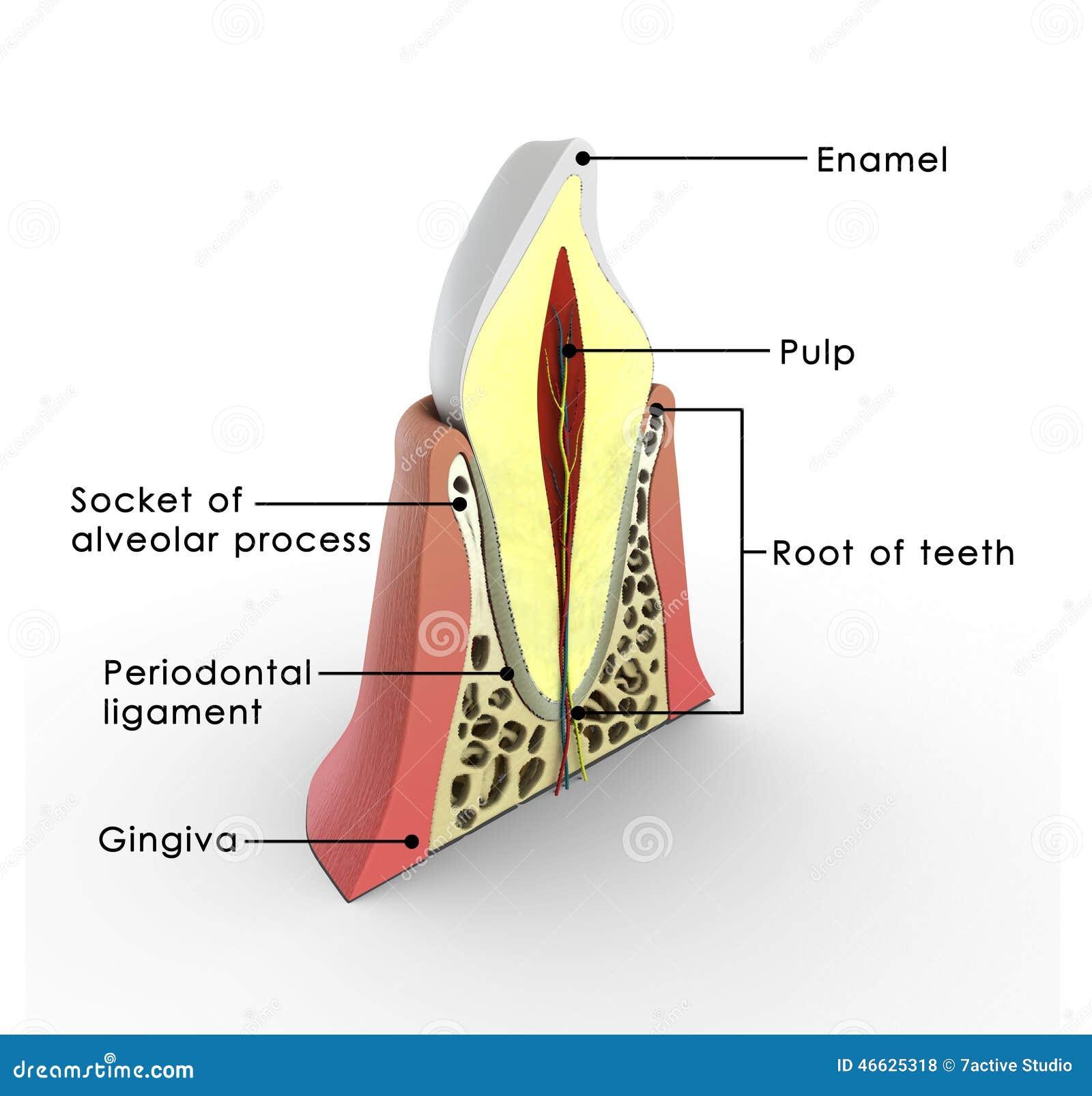 Anatomie der Zähne stock abbildung. Illustration von anatomie - 46625318