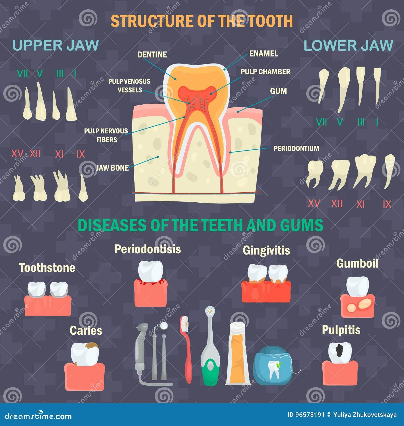 Anatomie Der Zähne Arten Von Menschlichen Zähnen Zahnkrankheits- Und ...