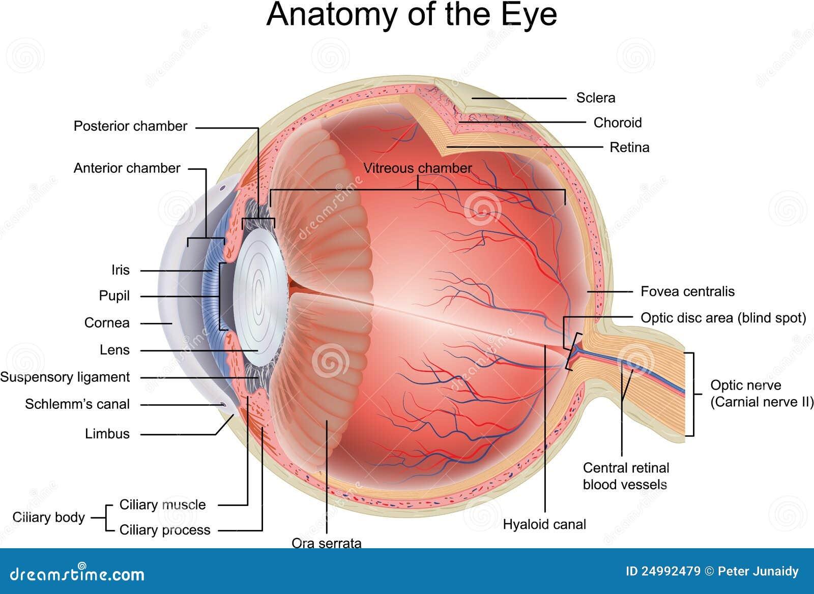 Anatomie des Auges vektor abbildung. Illustration von biologie ...