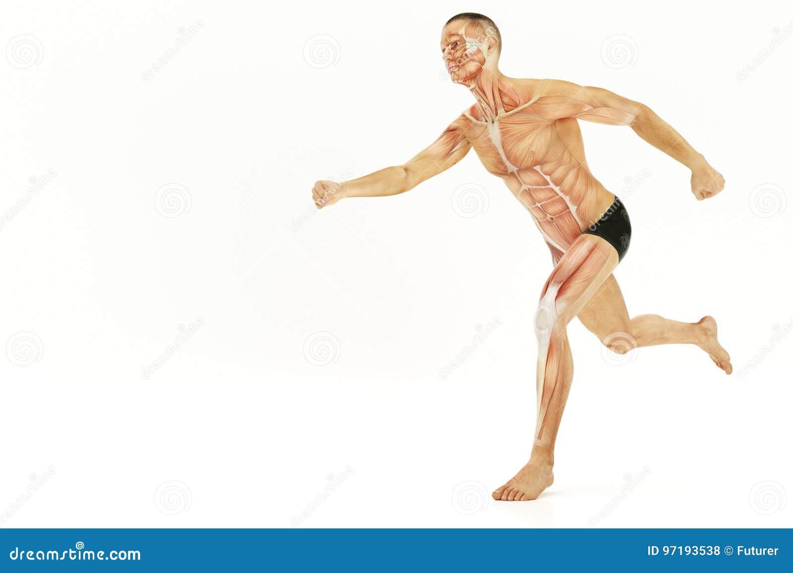 Anatomie Des Betriebs Des Menschlichen Körpers, Muskeln 3D ...