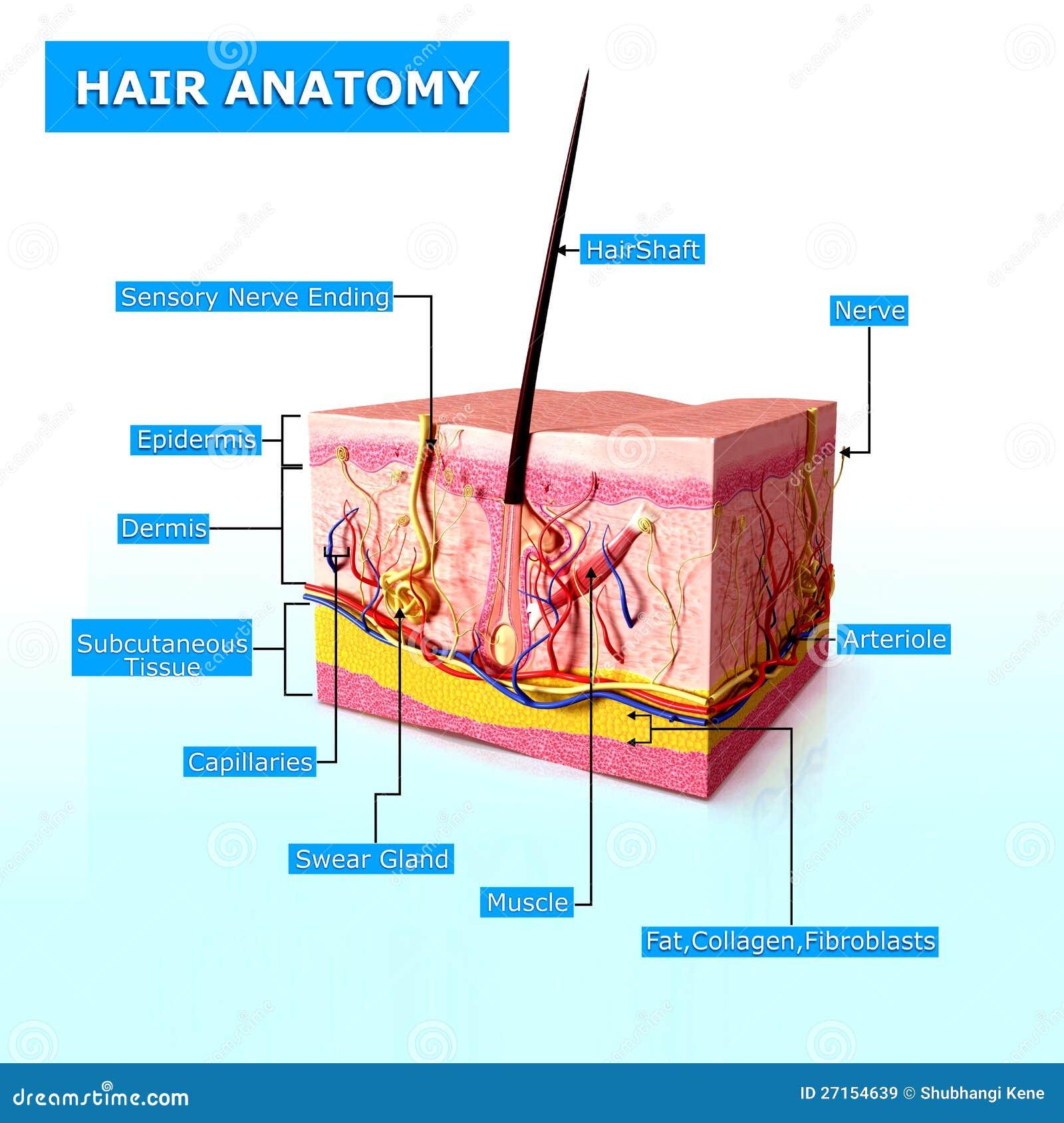 Anatomie des Haares stock abbildung. Illustration von bedingung ...