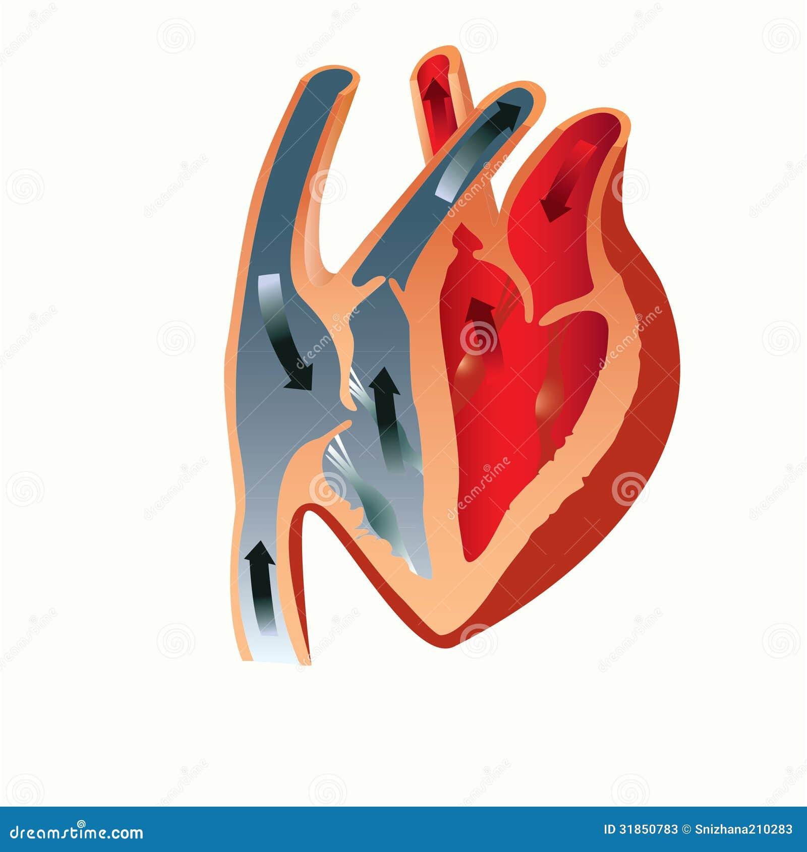 Anatomie des Herzens vektor abbildung. Illustration von atrium ...