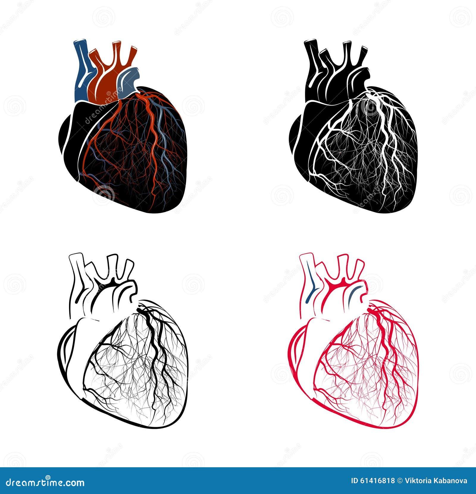 Ziemlich Schnitt Anatomie Des Herzens Ideen - Anatomie Ideen ...