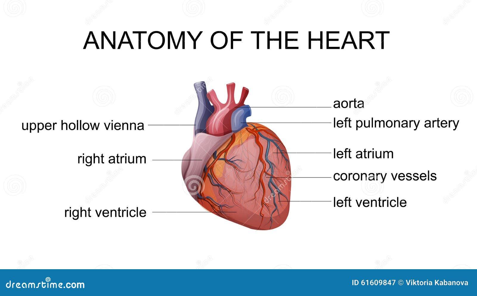 Anatomie des Herzens vektor abbildung. Illustration von inneres ...