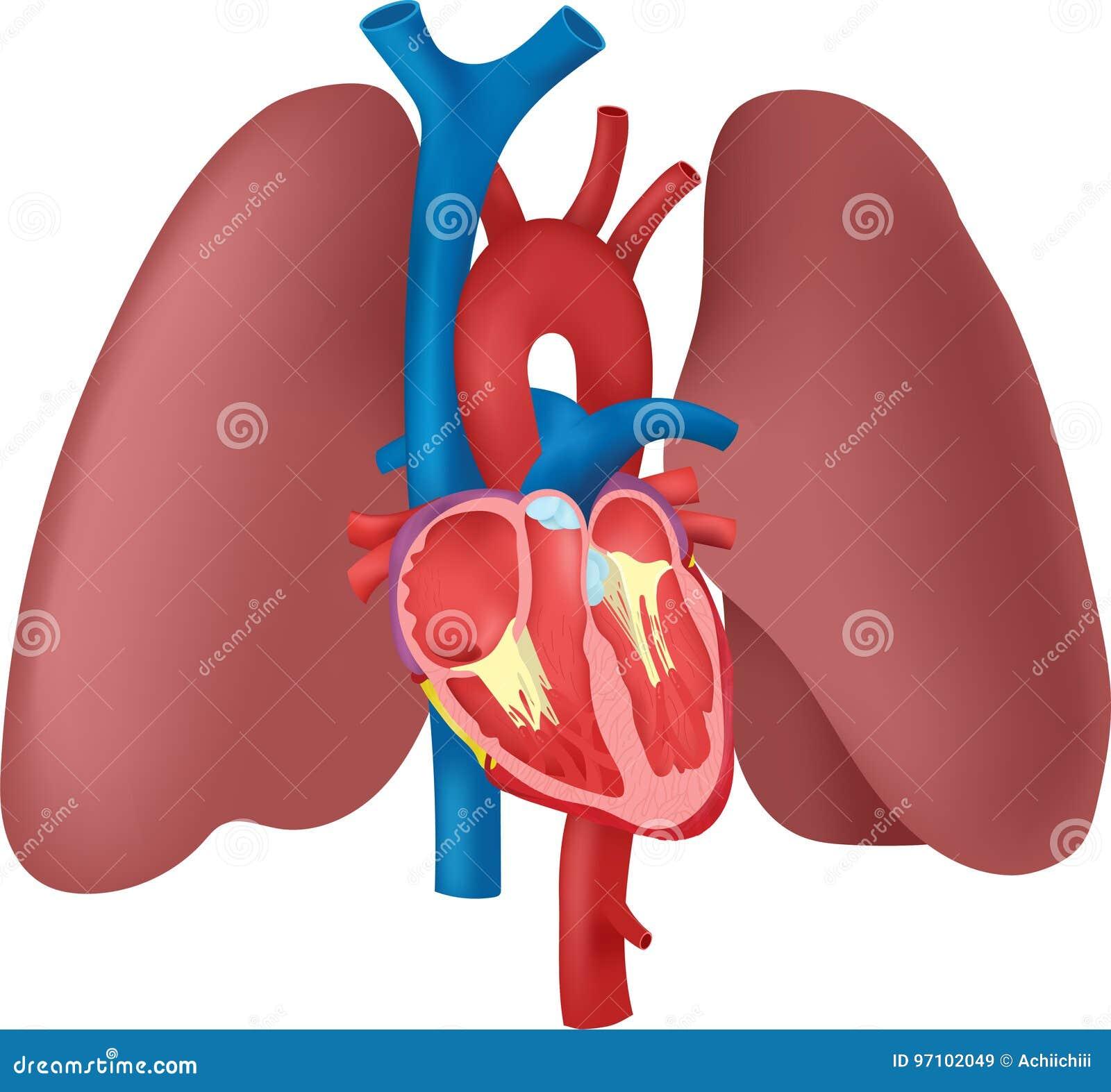 Anatomie Des Herzens Und Der Lungen Vektor Abbildung - Illustration ...