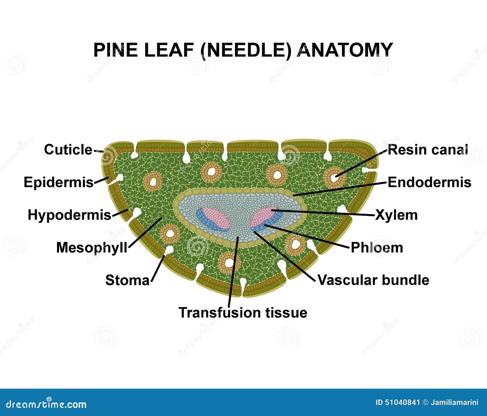 Anatomie Des Kiefernblattes (Nadel) Stock Abbildung - Illustration ...
