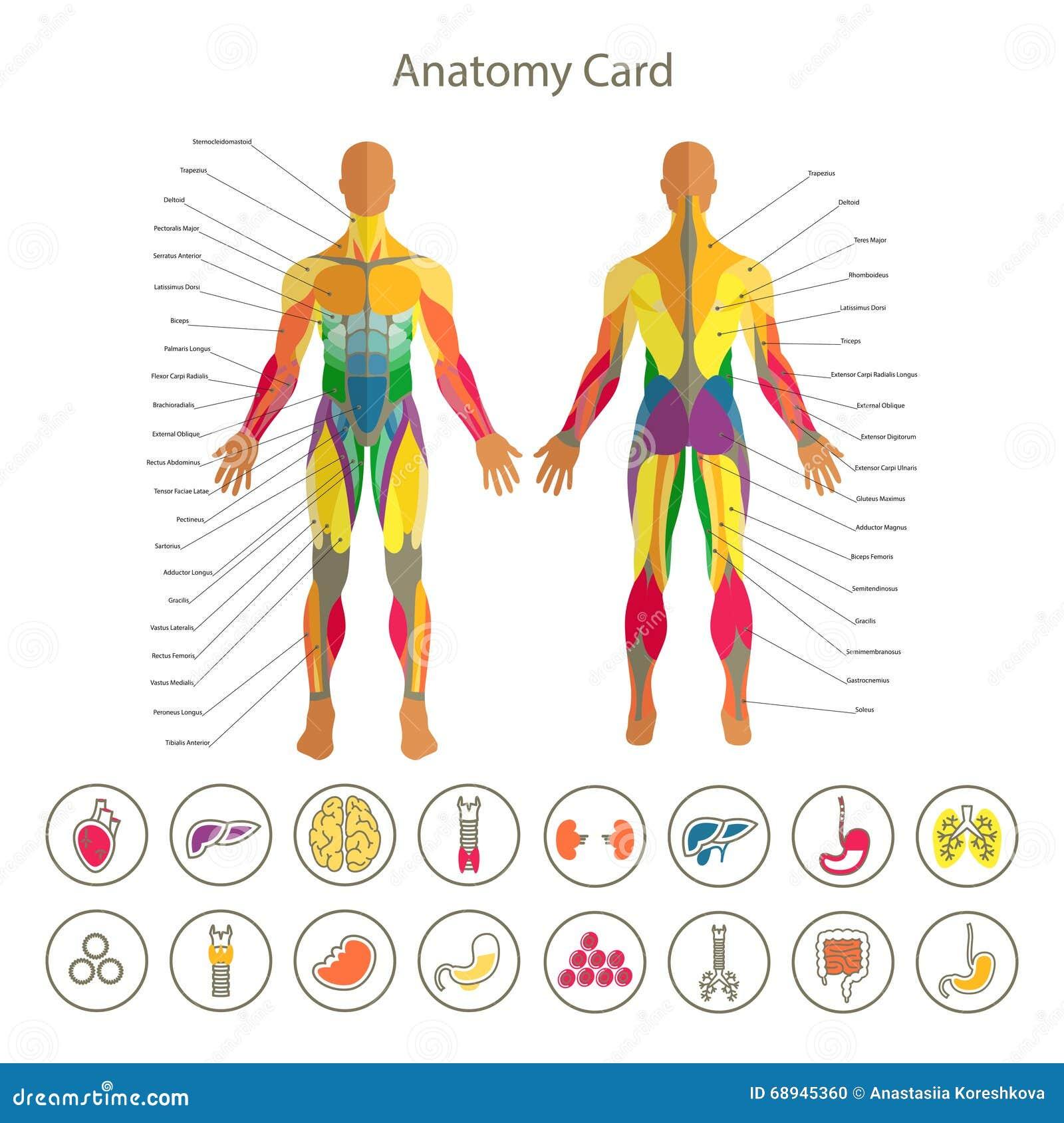 Anatomie Des Männlichen Muskulösen Systems Vorder- Und Rückseite ...