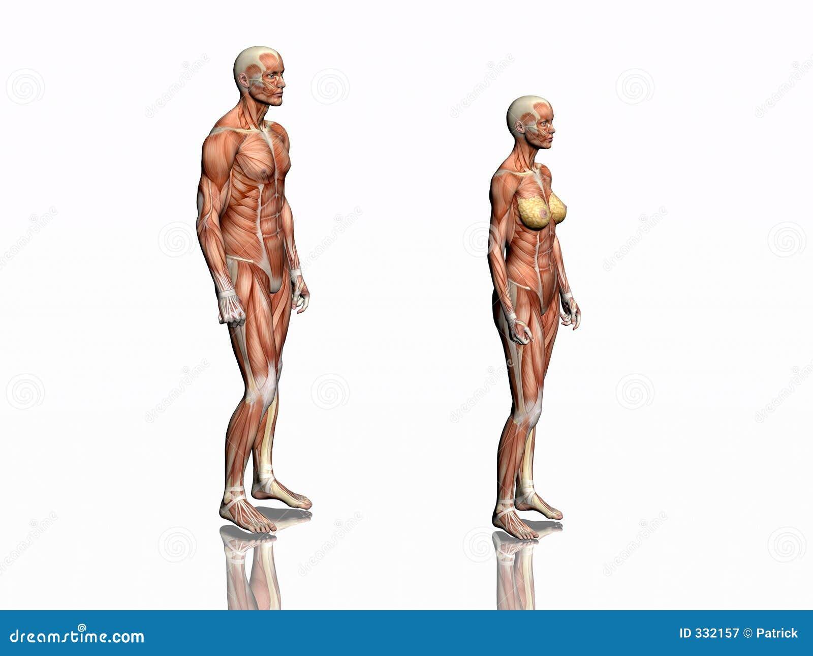 Anatomie Des Mannes Und Der Frau. Stock Abbildung - Illustration von ...
