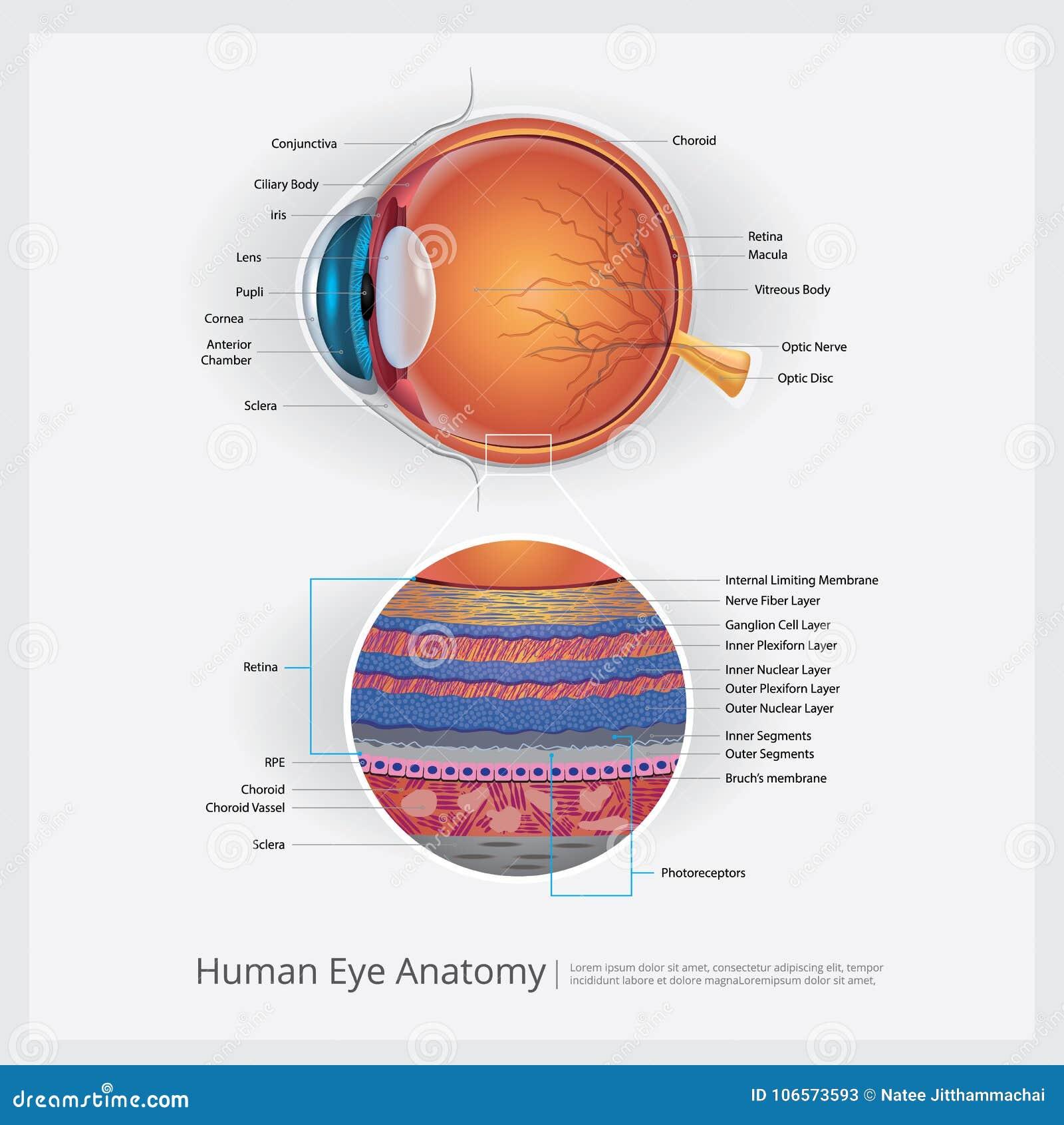 Anatomie Des Menschlichen Auges Vektor Abbildung - Illustration von ...