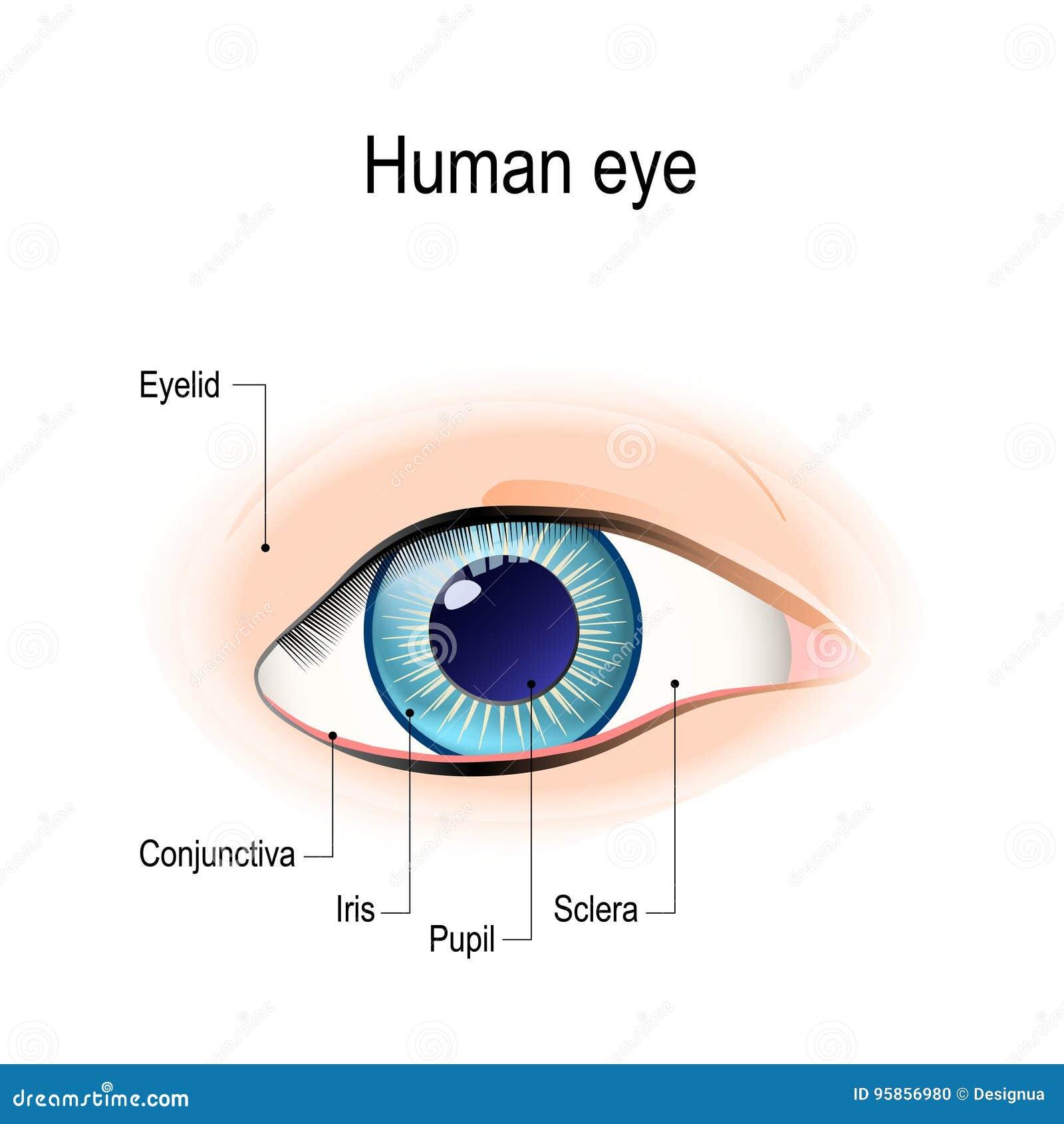 Anatomie Des Menschlichen Auges In Der Vorderansicht Vektor ...