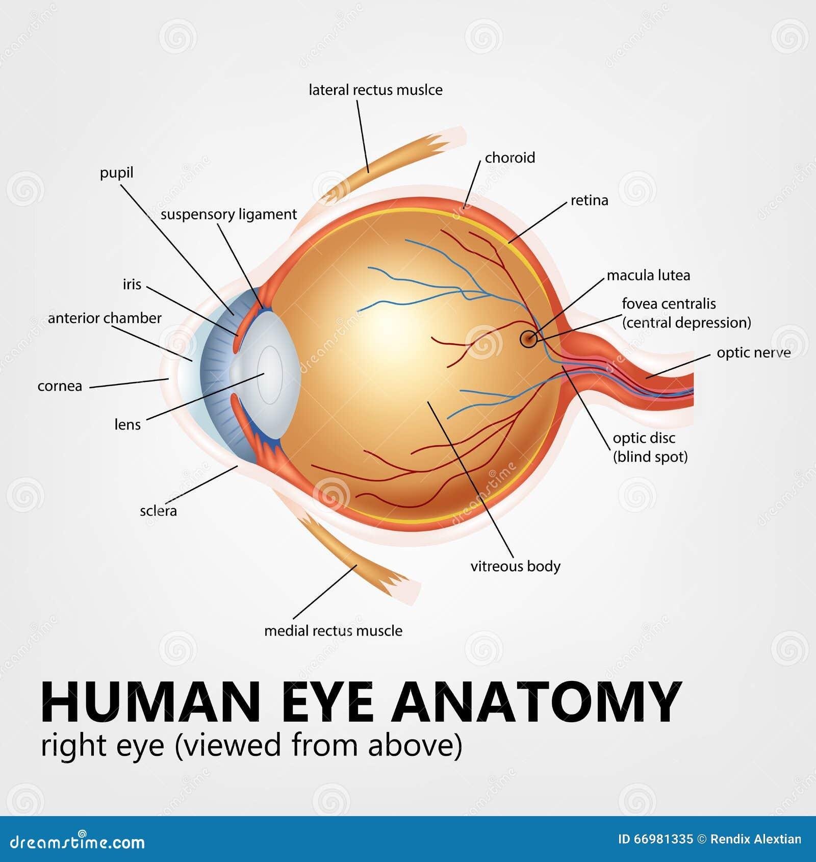 Anatomie Des Menschlichen Auges, Rechtes Auge Angesehen Von Oben ...