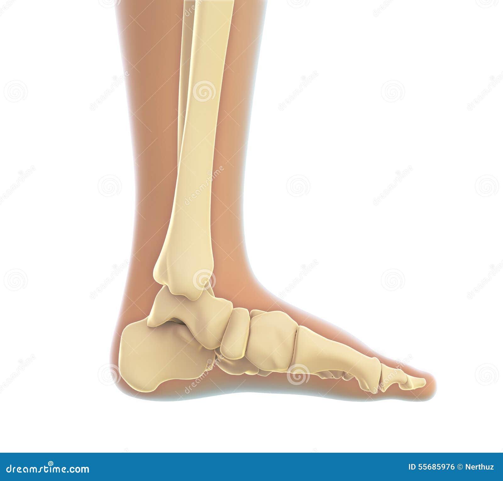 Anatomie Des Menschlichen Fußes Stock Abbildung - Illustration von ...