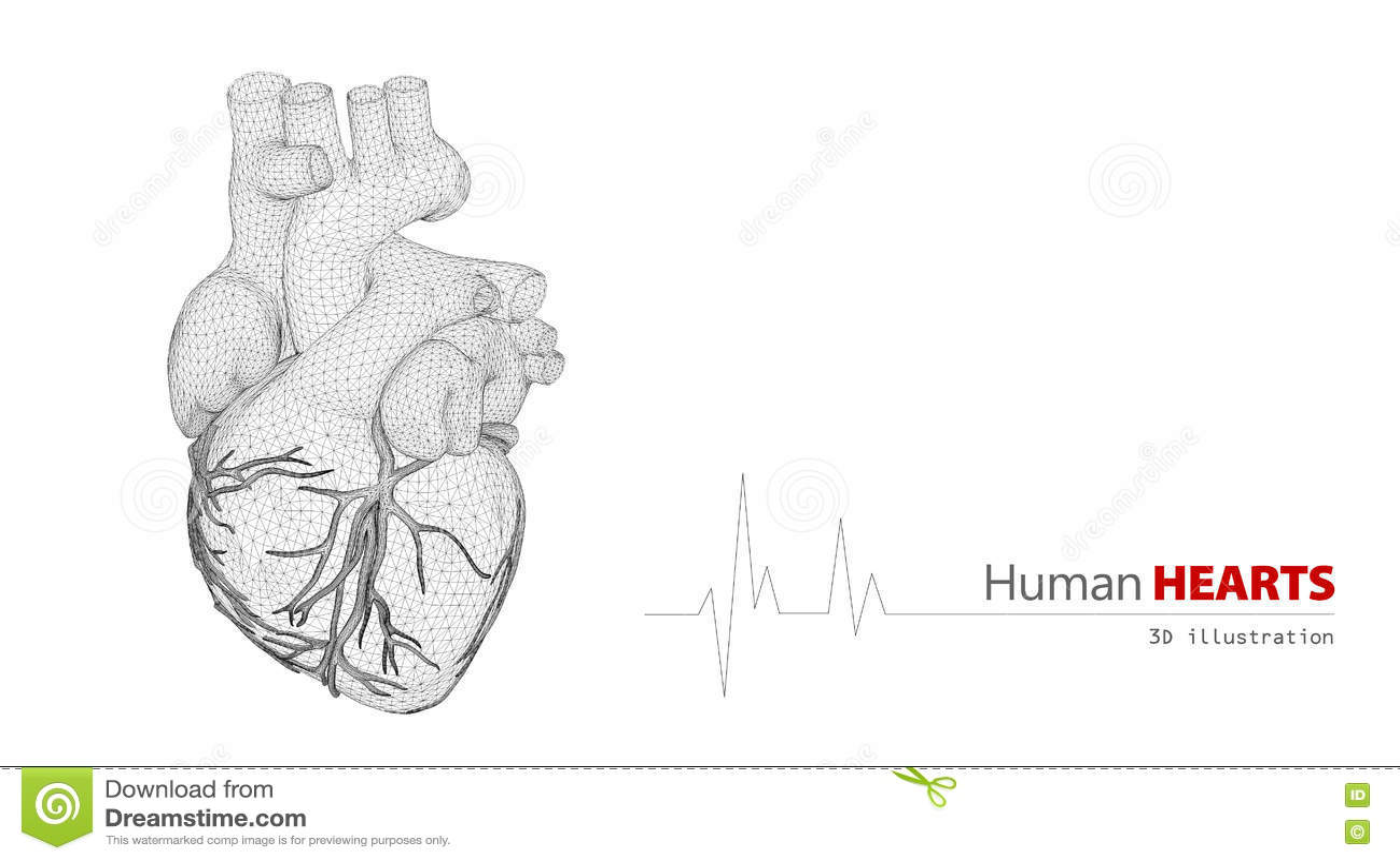 Anatomie Des Menschlichen Herzens Auf Einem Weißen Hintergrund Stock ...