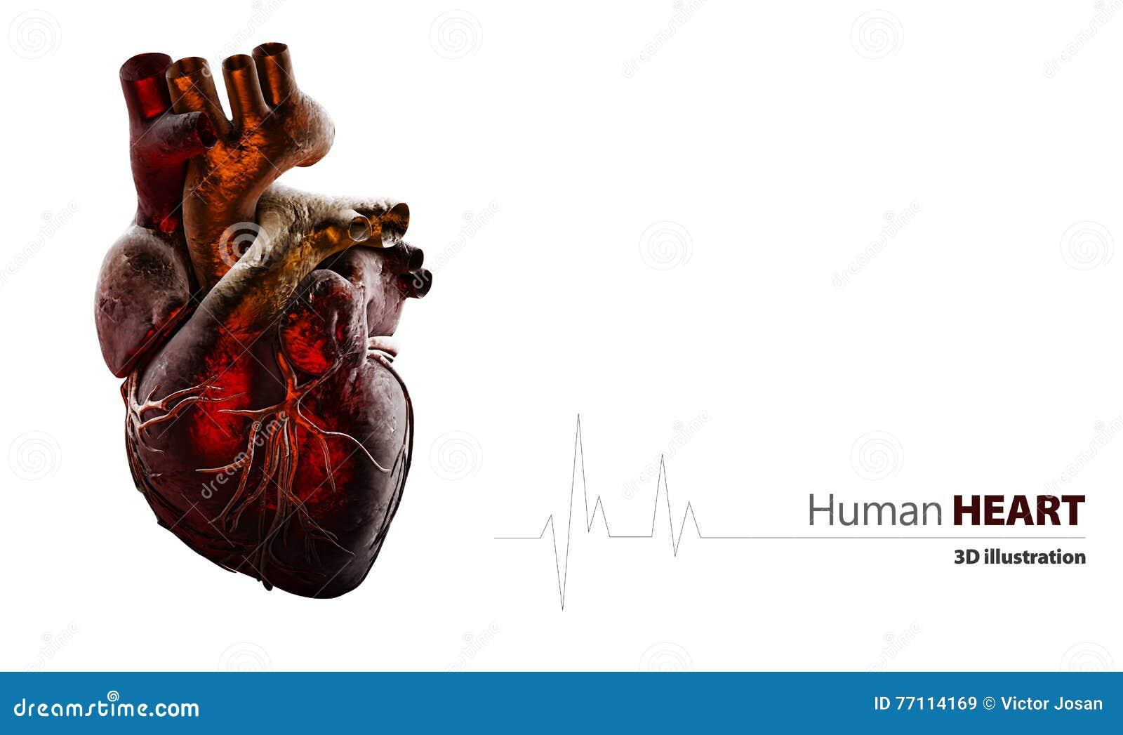 Fantastisch Bilder Des Menschlichen Herzens Anatomie Bilder ...
