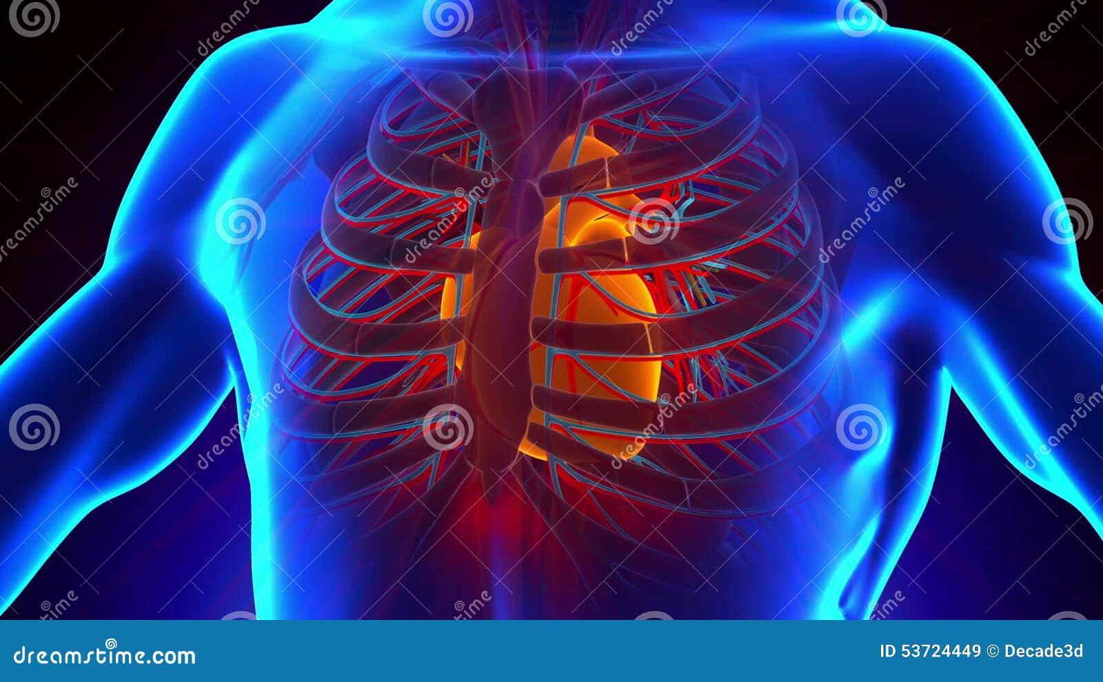 Anatomie Des Menschlichen Herzens - Medizinischer Röntgenstrahl-Scan ...