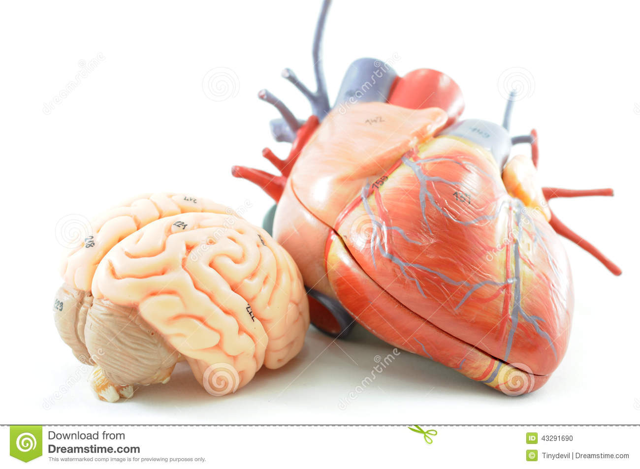 Anatomie Des Herzens Stock Images - Download 117 Photos