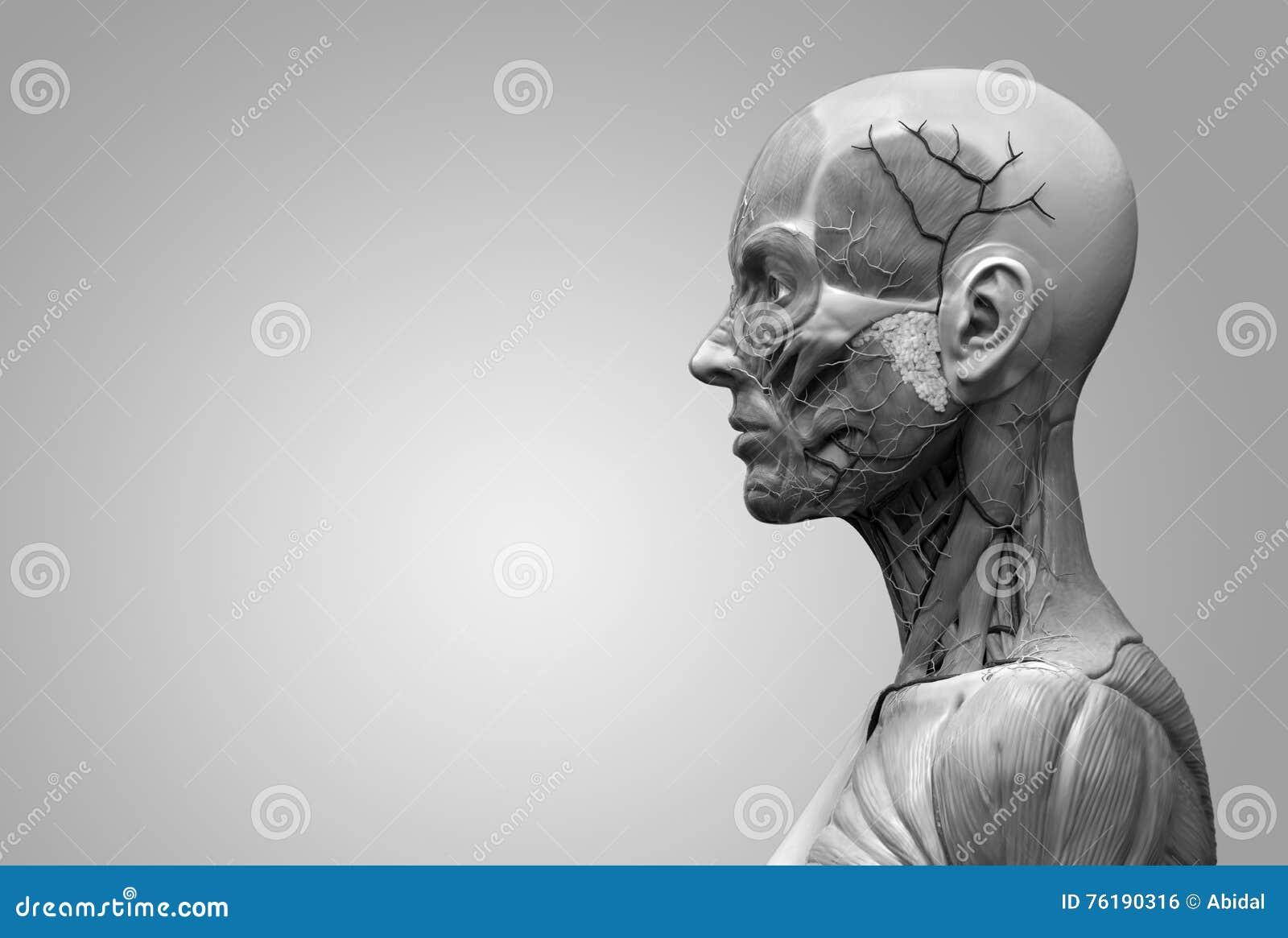 Anatomie Des Menschlichen Körpers Einer Frau Stock Abbildung ...