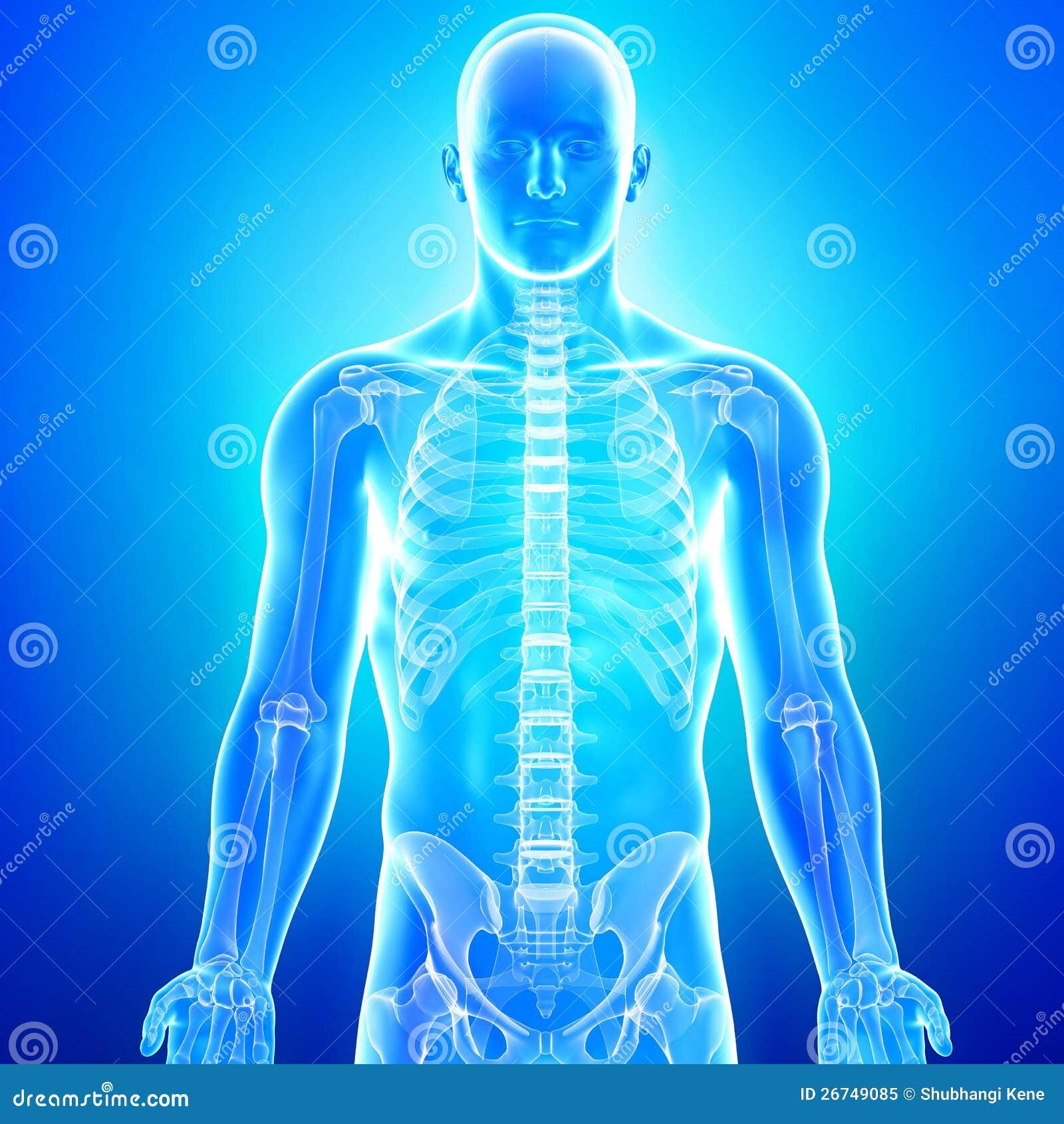 Anatomie Des Menschlichen Körpers Im Blauen Röntgenstrahl Stock ...
