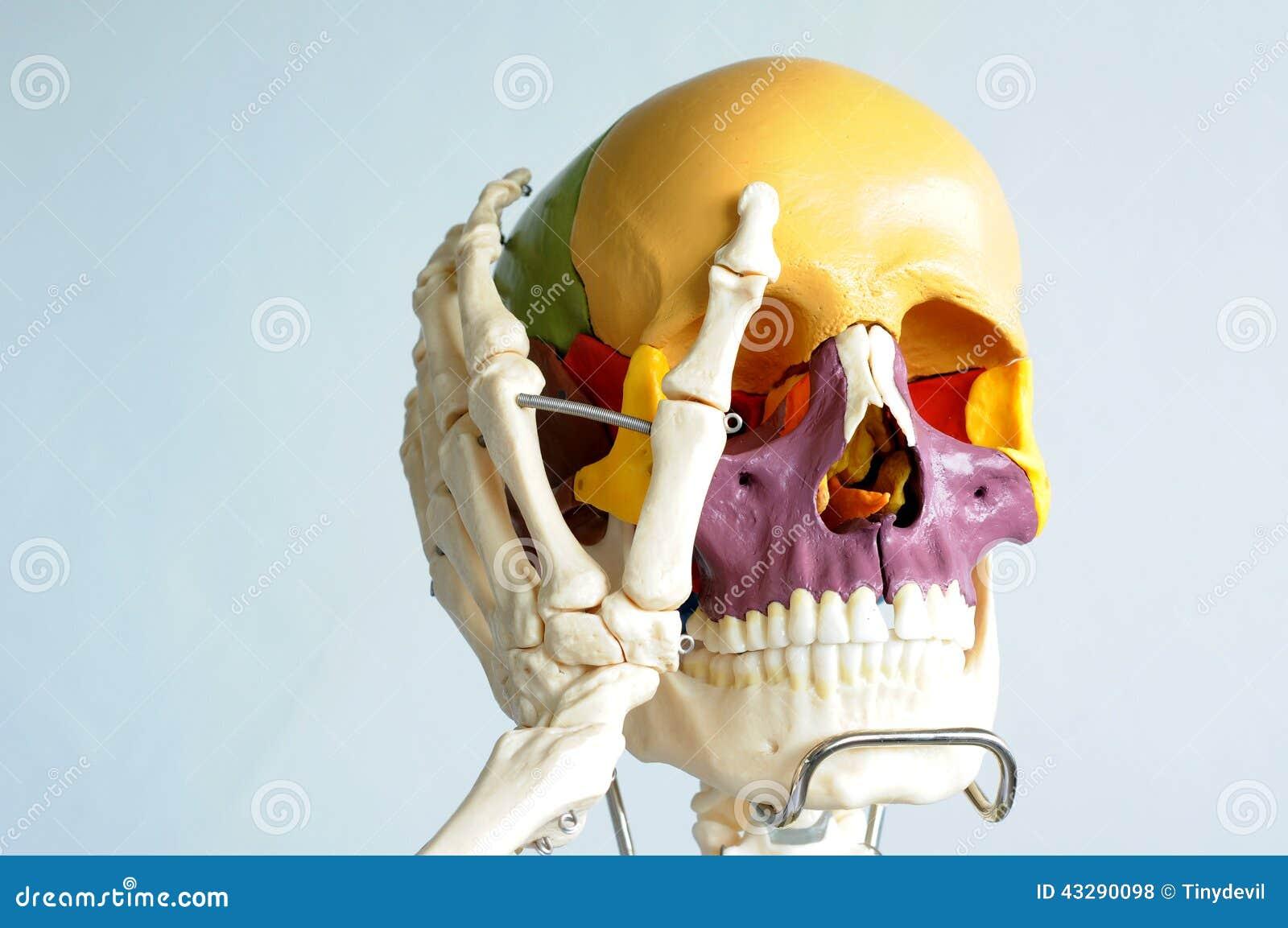 Anatomie Des Menschlichen Schädels Stockfoto - Bild von doktor ...