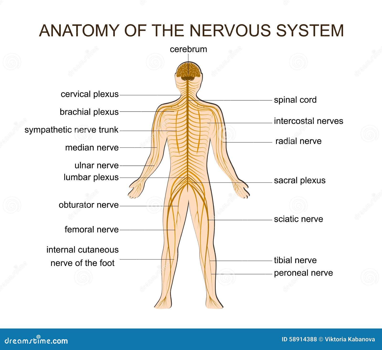 ANATOMIE DES NERVENSYSTEMS vektor abbildung. Illustration von ...