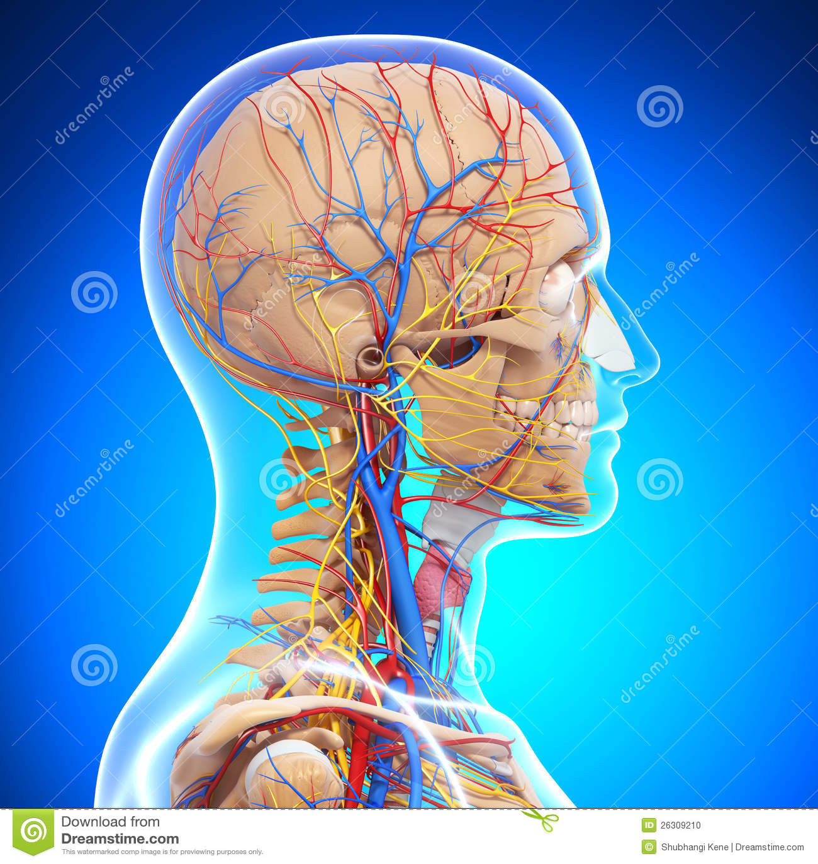 Anatomie Des Skeletts Des Menschlichen Kopfes Stock Abbildung ...