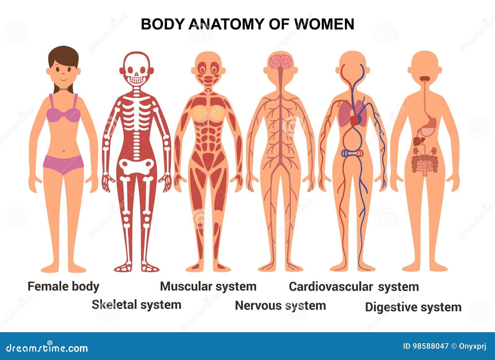 Anatomie Des Weiblichen Körpers Anatomisches Plakat Stock Abbildung ...