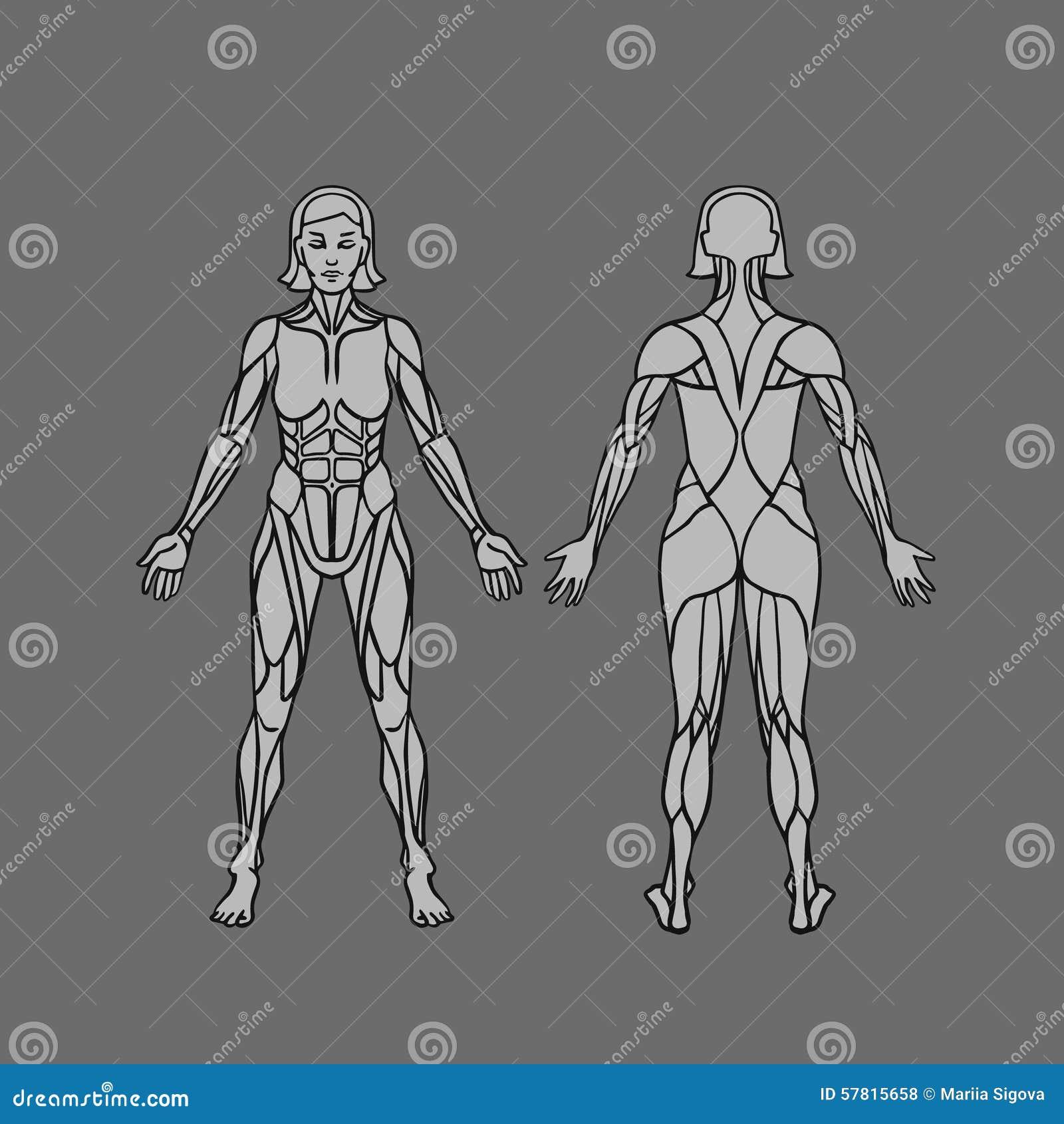 Anatomie Des Weiblichen Muskulösen Systems, Der Übung Und Des ...