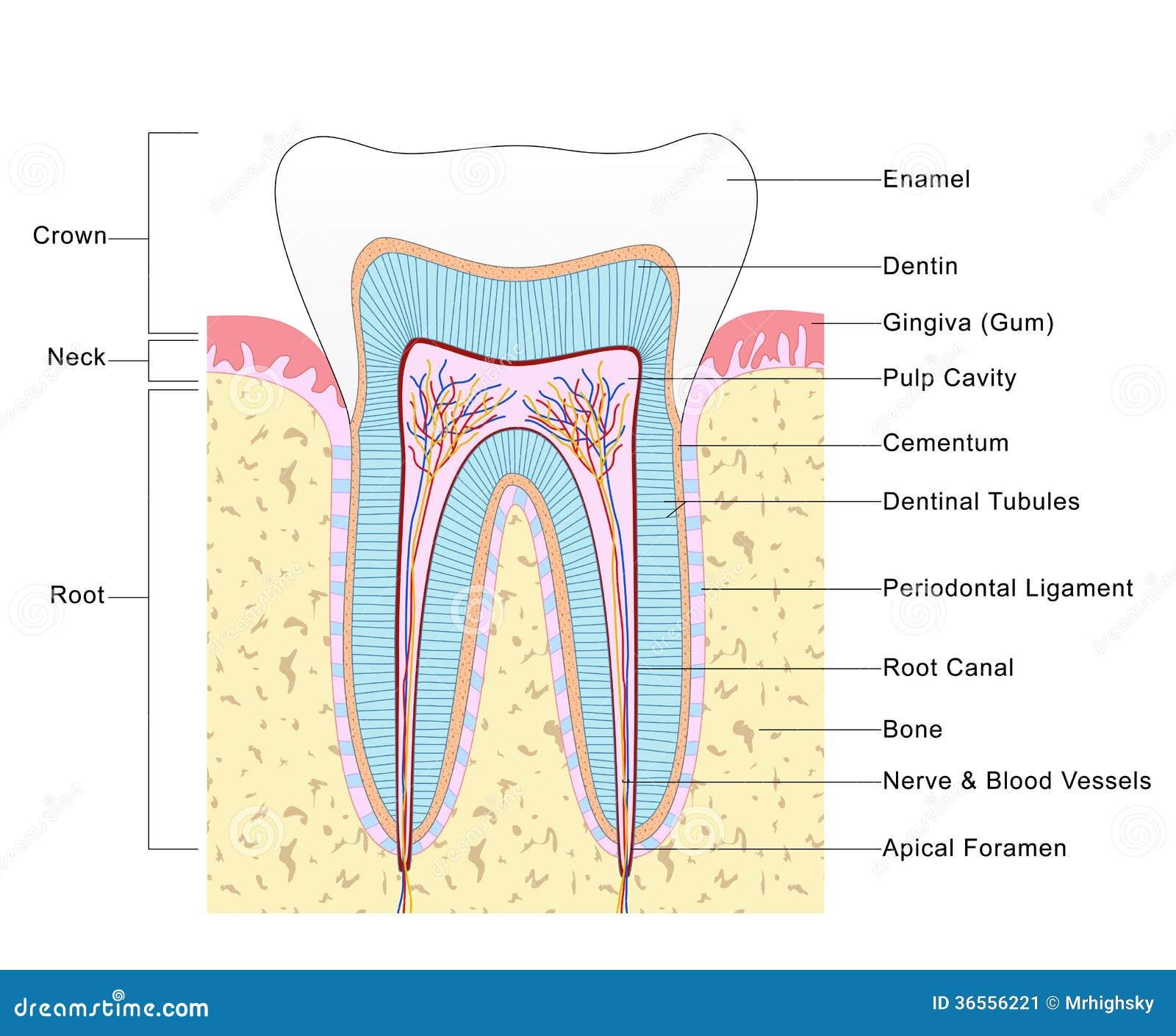 Anatomie des Zahnes stock abbildung. Illustration von gefärbt - 36556221