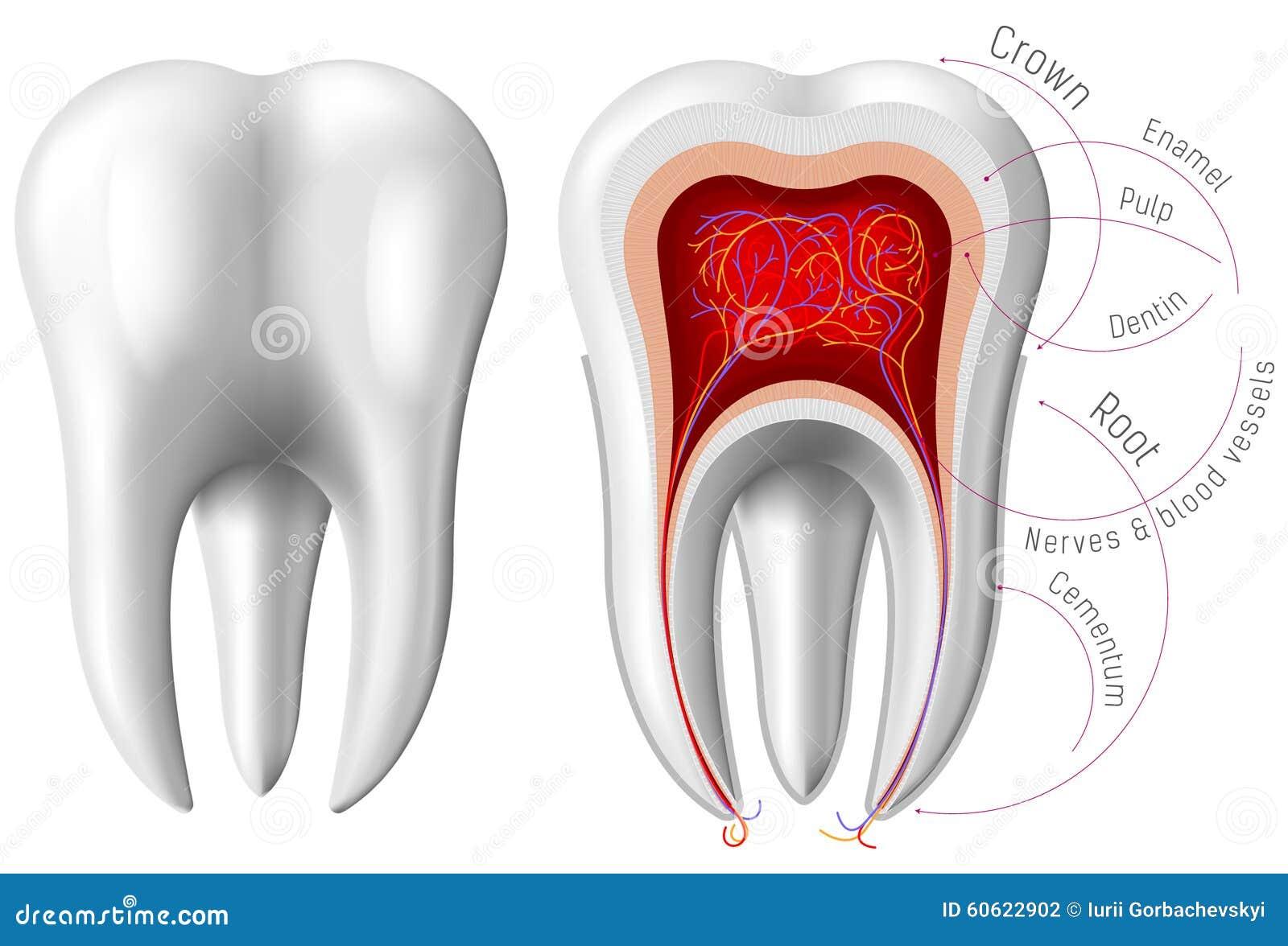 Anatomie des Zahnes vektor abbildung. Illustration von dermatologie ...