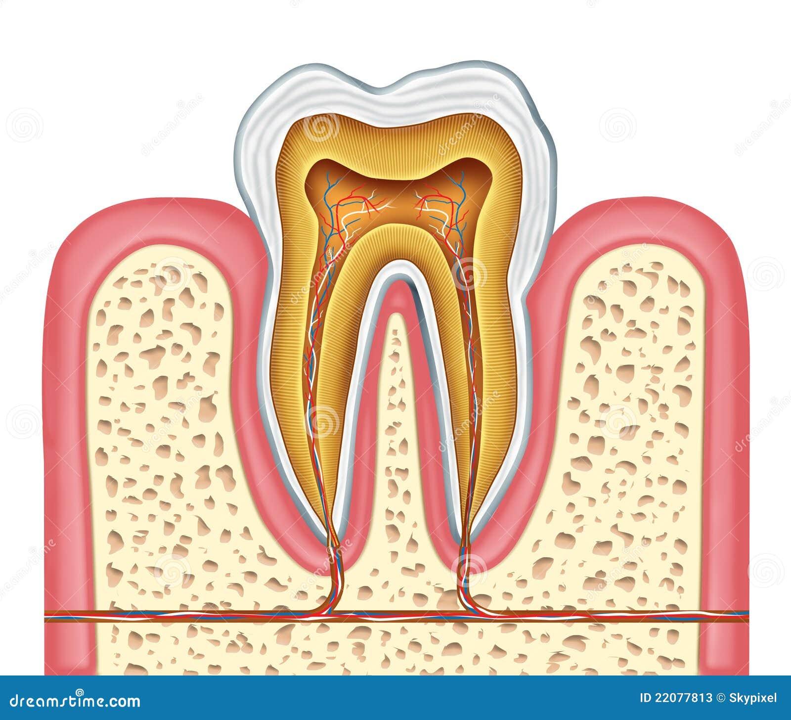 Anatomie Eines Gesunden Menschlichen Zahnes Stock Abbildung ...