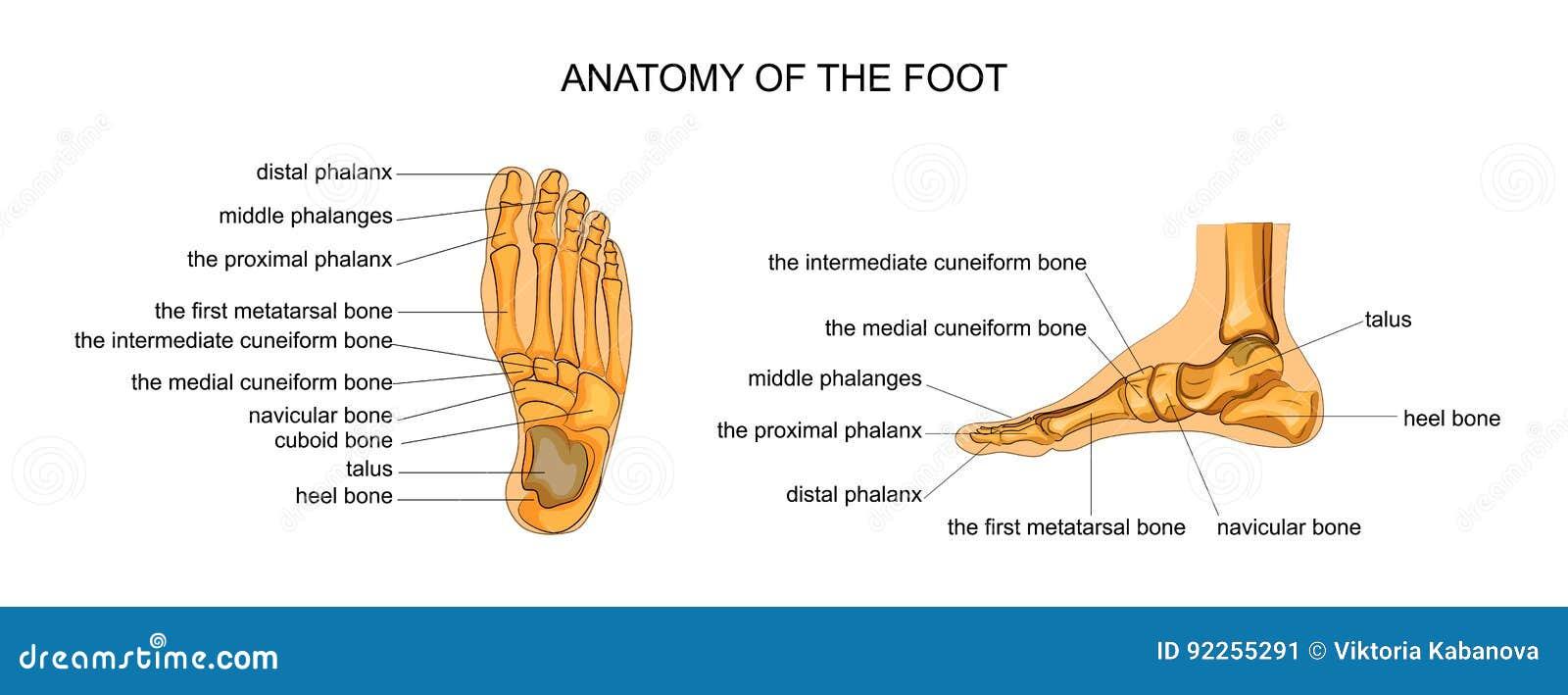 Großzügig Anatomie Des Fußes Und Knöchelverletzungen Bilder ...