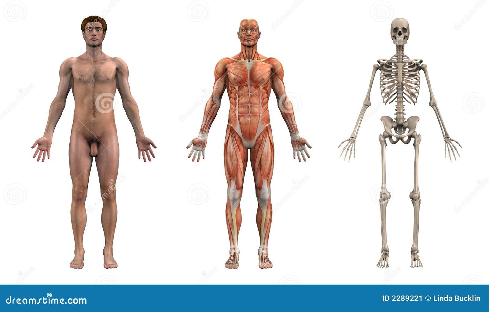 Anatomie-Frontseite - Erwachsener Mann Stock Abbildung ...