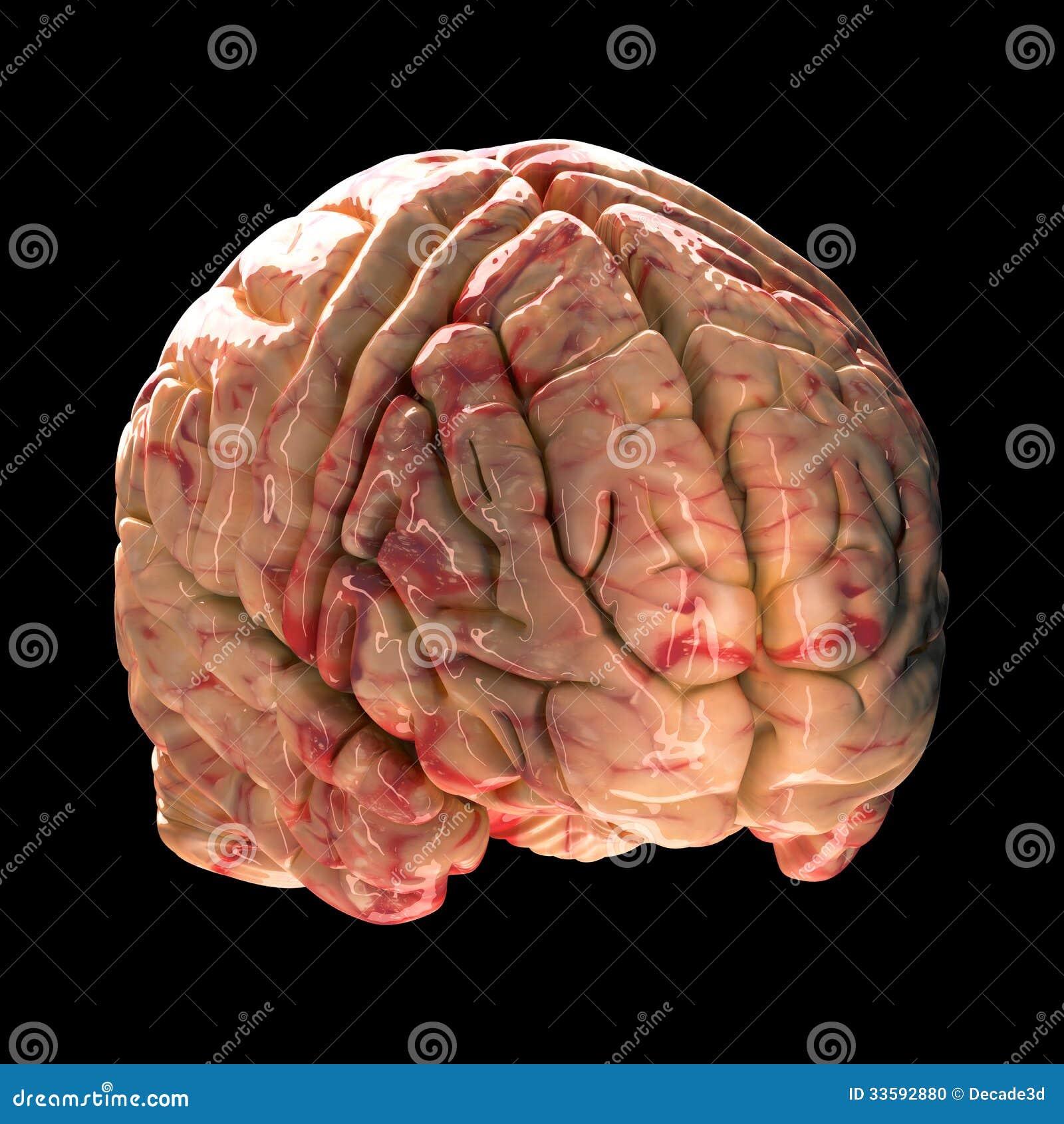 Anatomie-Gehirn - Isometrische Ansicht Stock Abbildung ...