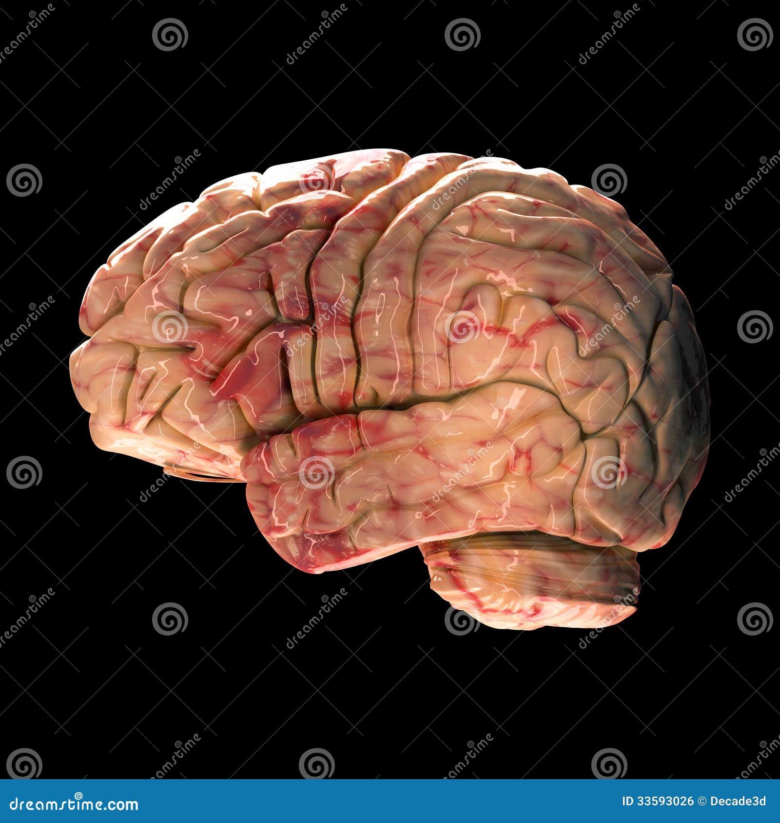 Anatomie-Gehirn - Seitenansicht Stockfoto - Bild von nahaufnahme ...