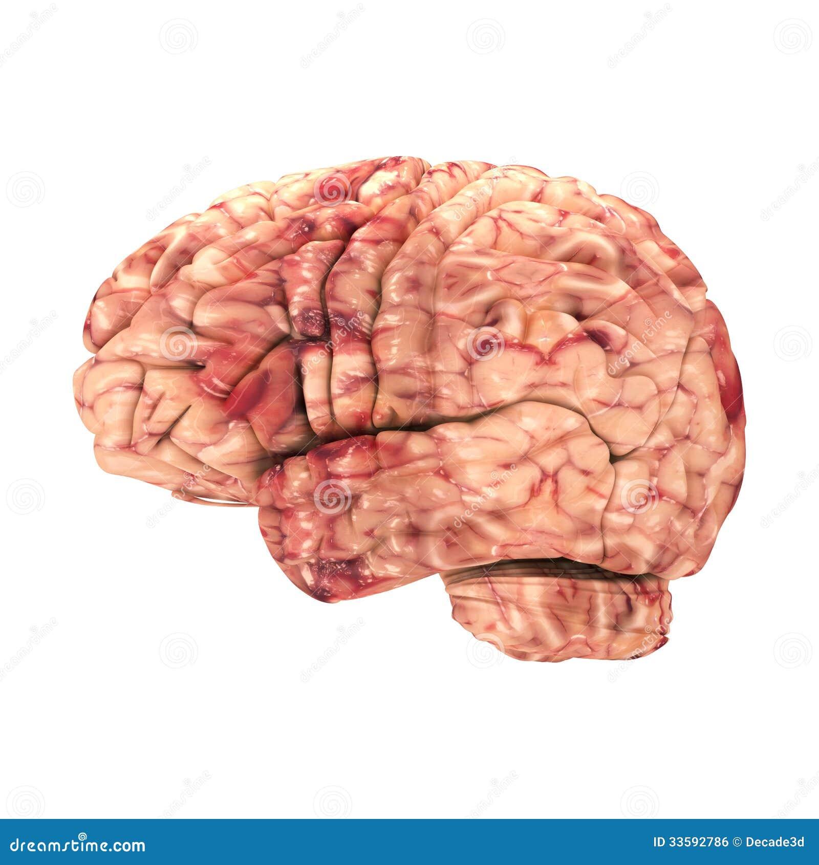 Anatomie-Gehirn - Seitenansicht Lokalisiert Stock Abbildung ...