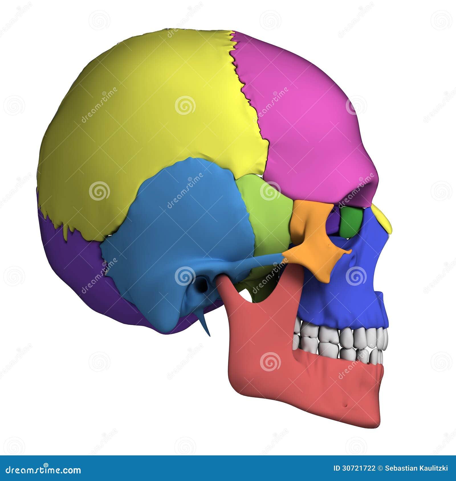 Anatomie humaine de crâne