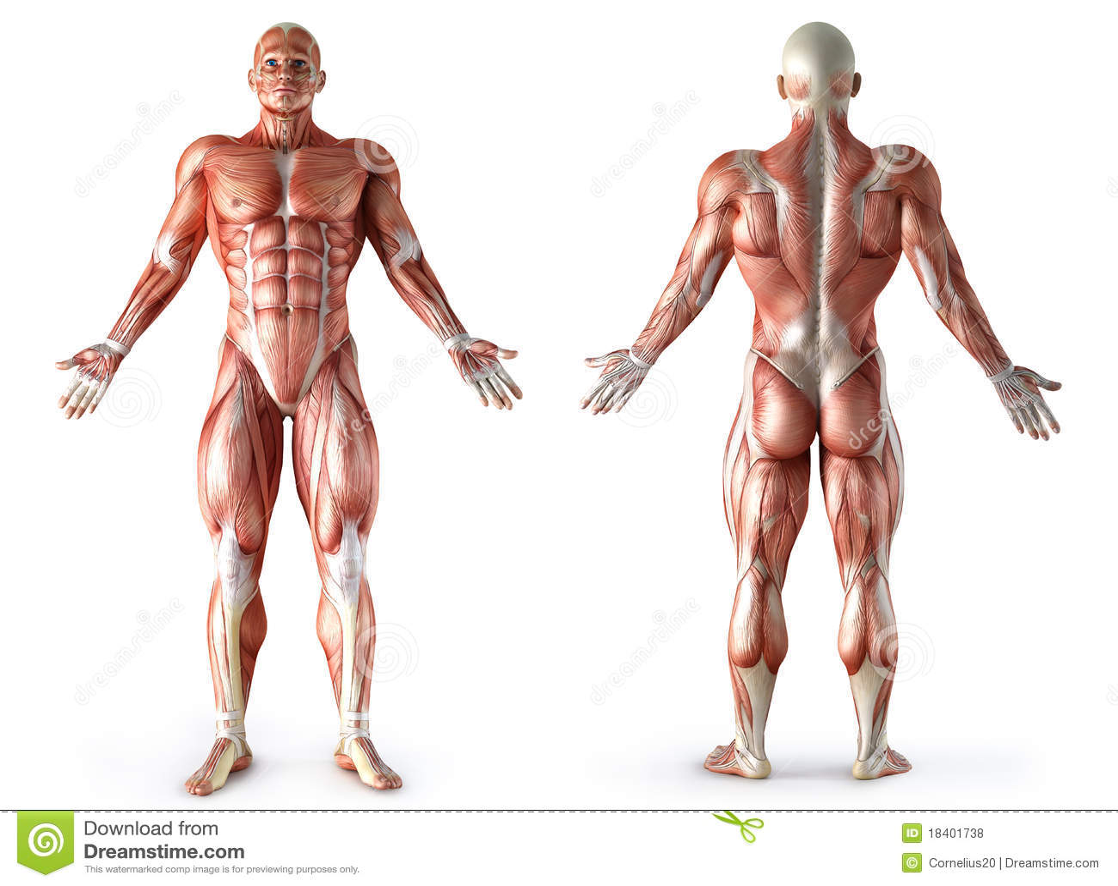 Anatomie, Muskeln stock abbildung. Illustration von kasten - 18401738
