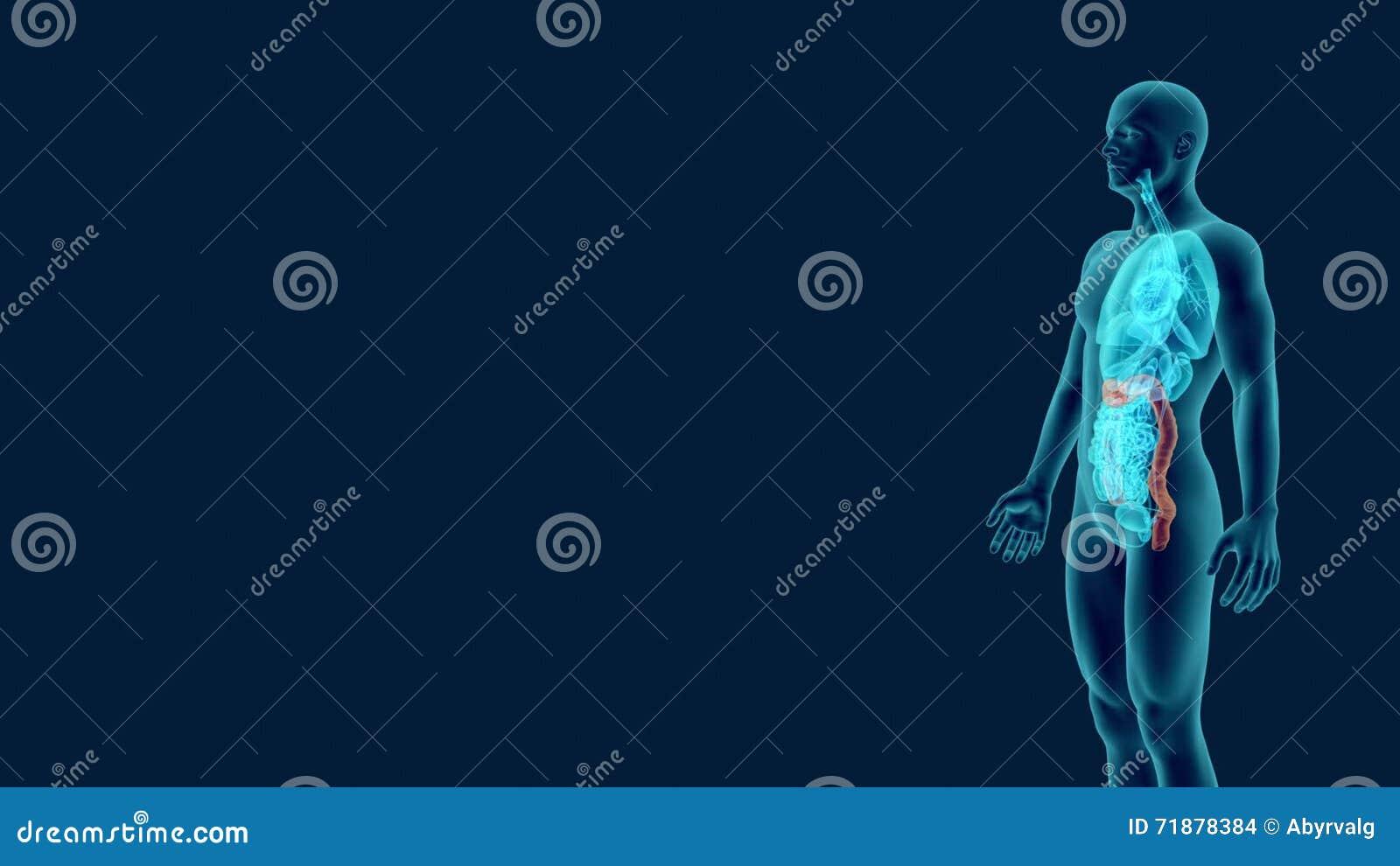 Anatomie-Röntgenstrahlen Des Menschlichen Doppelpunktes Mit ...