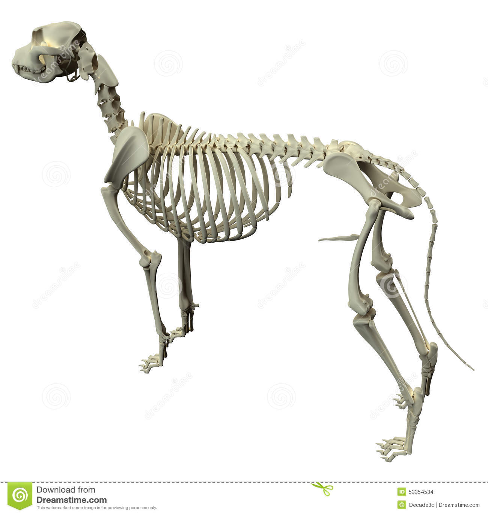 Anatomie Squelettique De Chien Anatomie D Un Squelette