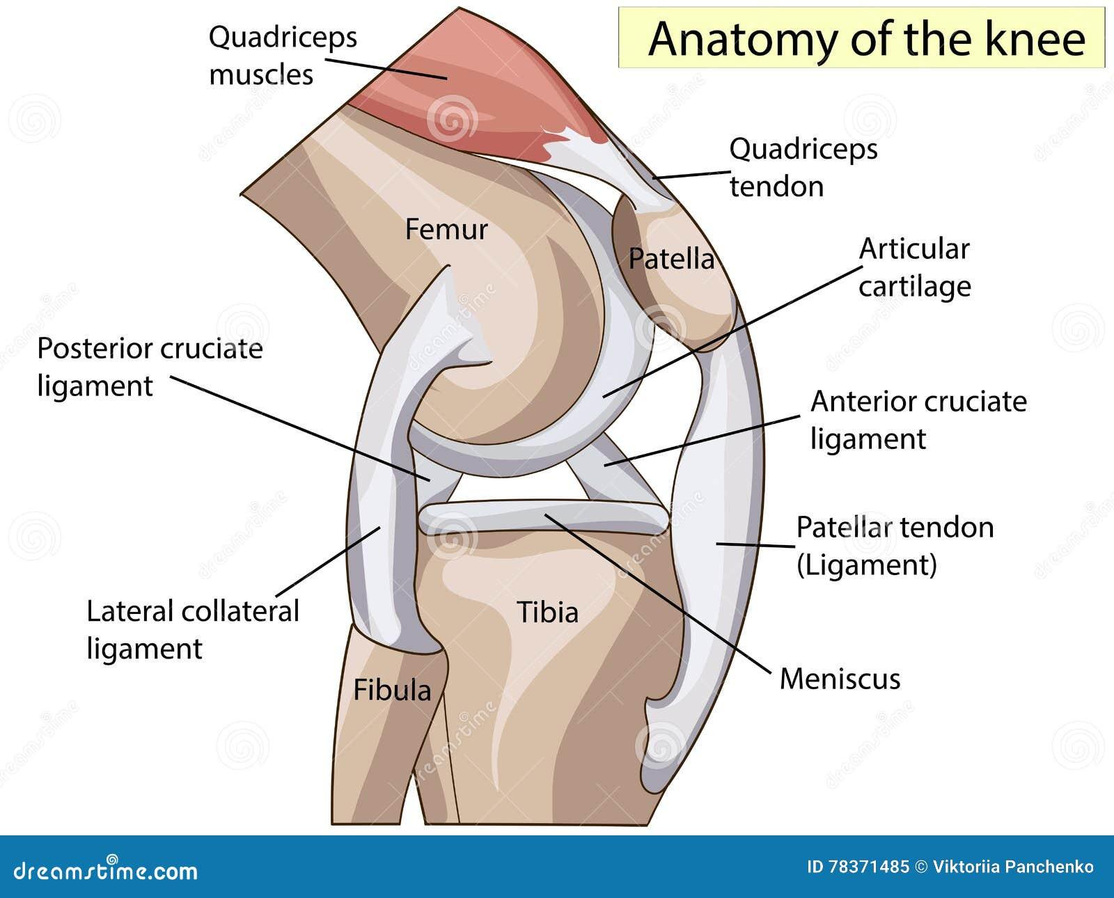 Ungewöhnlich Knie Anatomie 3d Bilder - Anatomie Und Physiologie ...