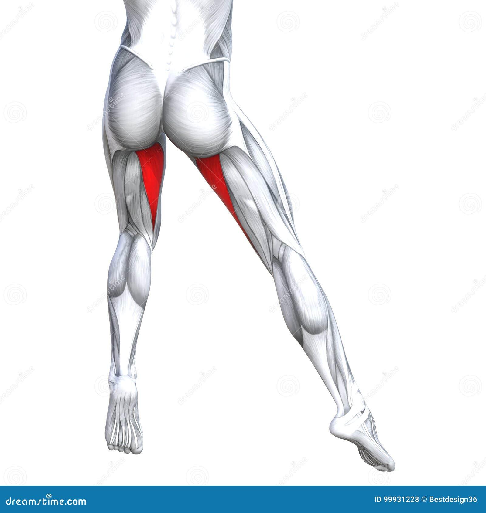 Anatomie supérieure d humain de jambe de dos d illustration du concept 3D