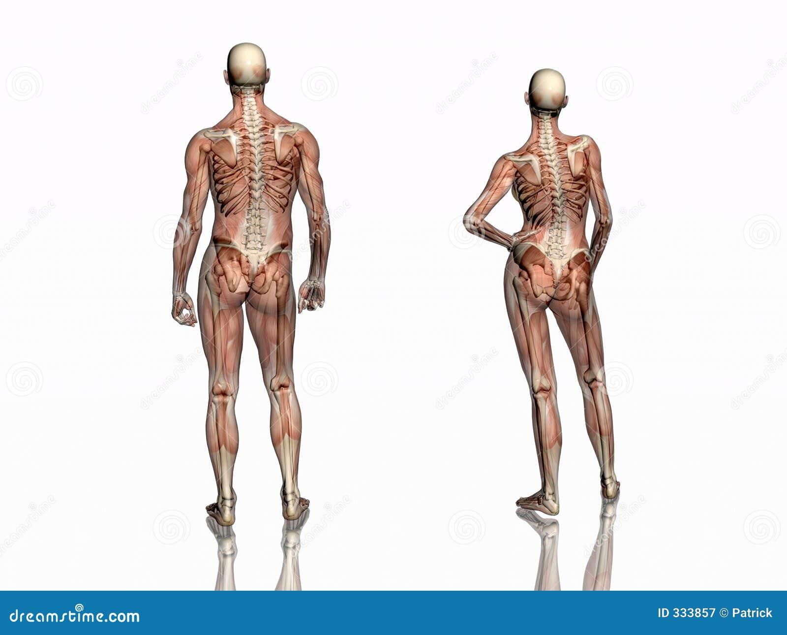 Nett Skelett Mit Muskeln Zeitgenössisch - Anatomie Ideen - finotti.info
