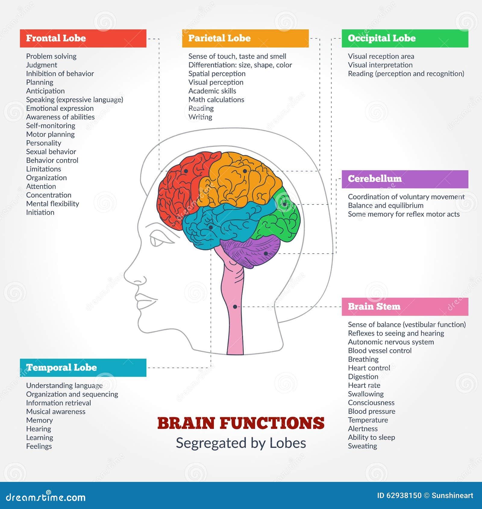Ziemlich Gehirn Anatomie Und Physiologie Bilder - Menschliche ...