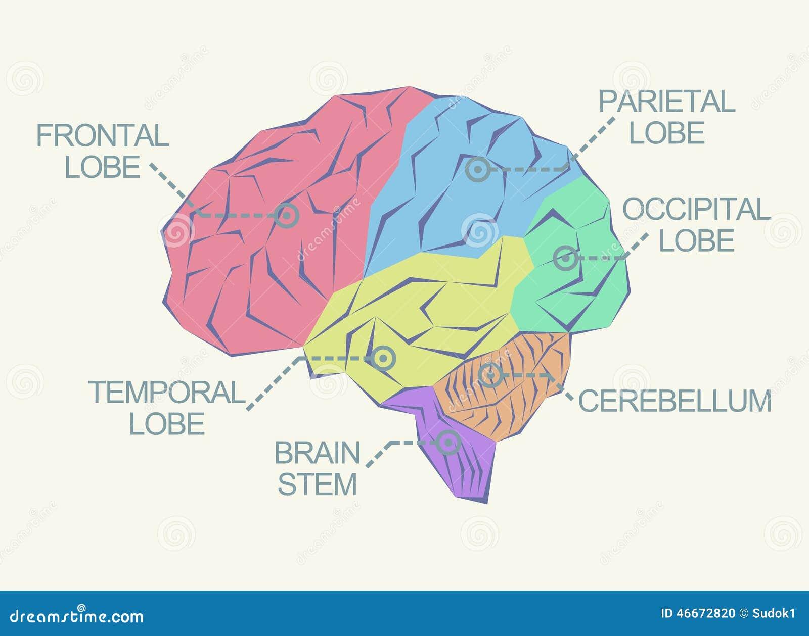 Anatomie van de hersenen stock illustratie afbeelding bestaande uit medisch 46672820 - Van de ignum sanijura ...